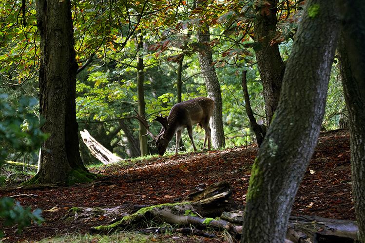 Tussen de bomen door zien we een dambok met een prachtig schoffelgewei - Foto: ©Louis Fraanje