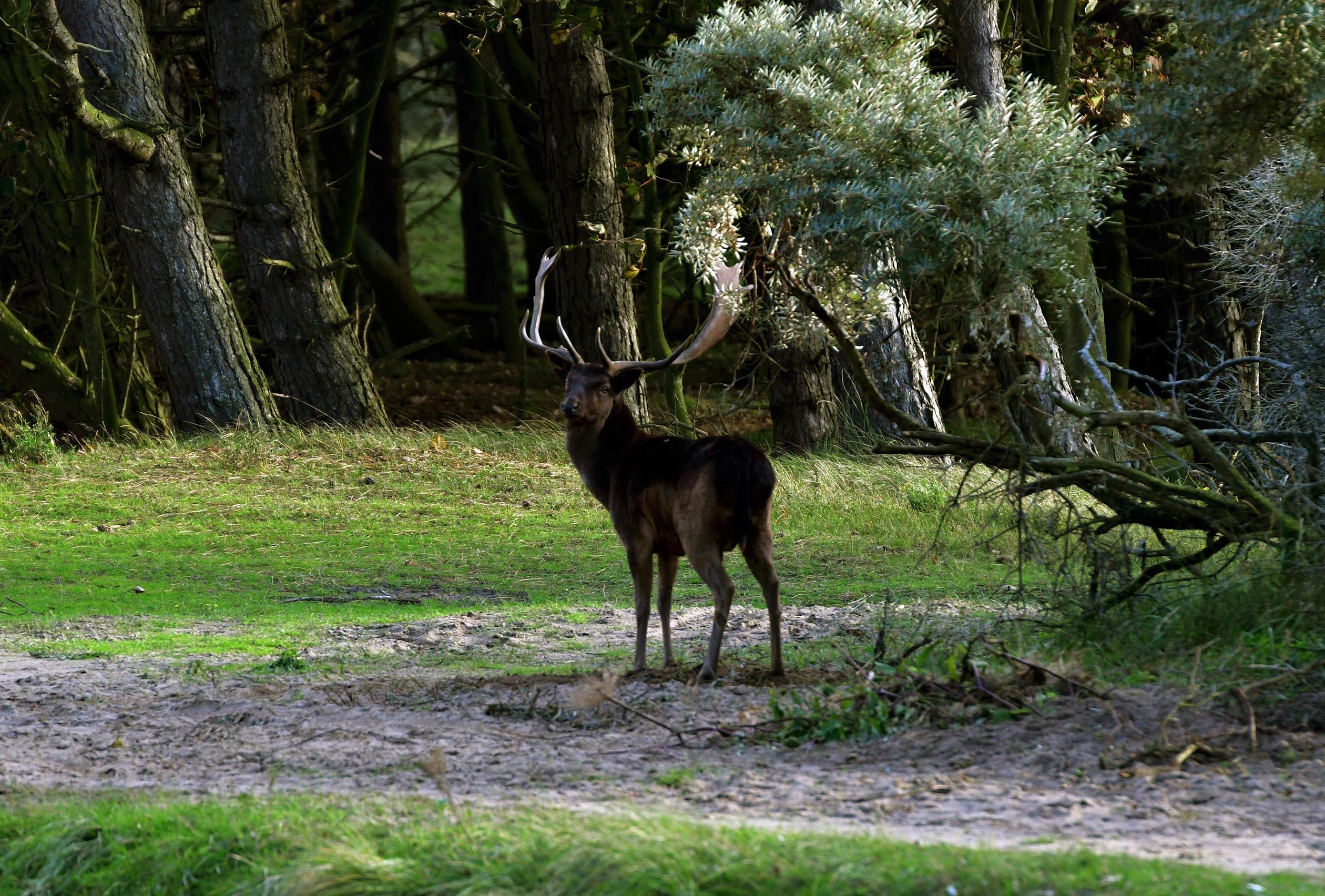 Aan de rand van het bos staat een prachtige dambok, een mooi donker exemplaar – Foto: ©Louis Fraanje