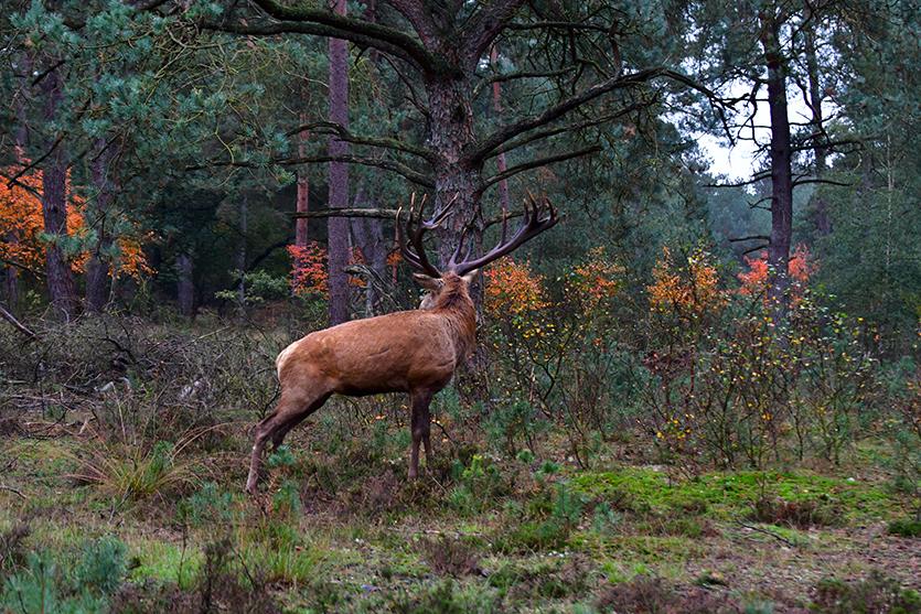 Hubertus heeft wat gehoord, kijkt achterom en gaat staan – Foto: ©Louis Fraanje