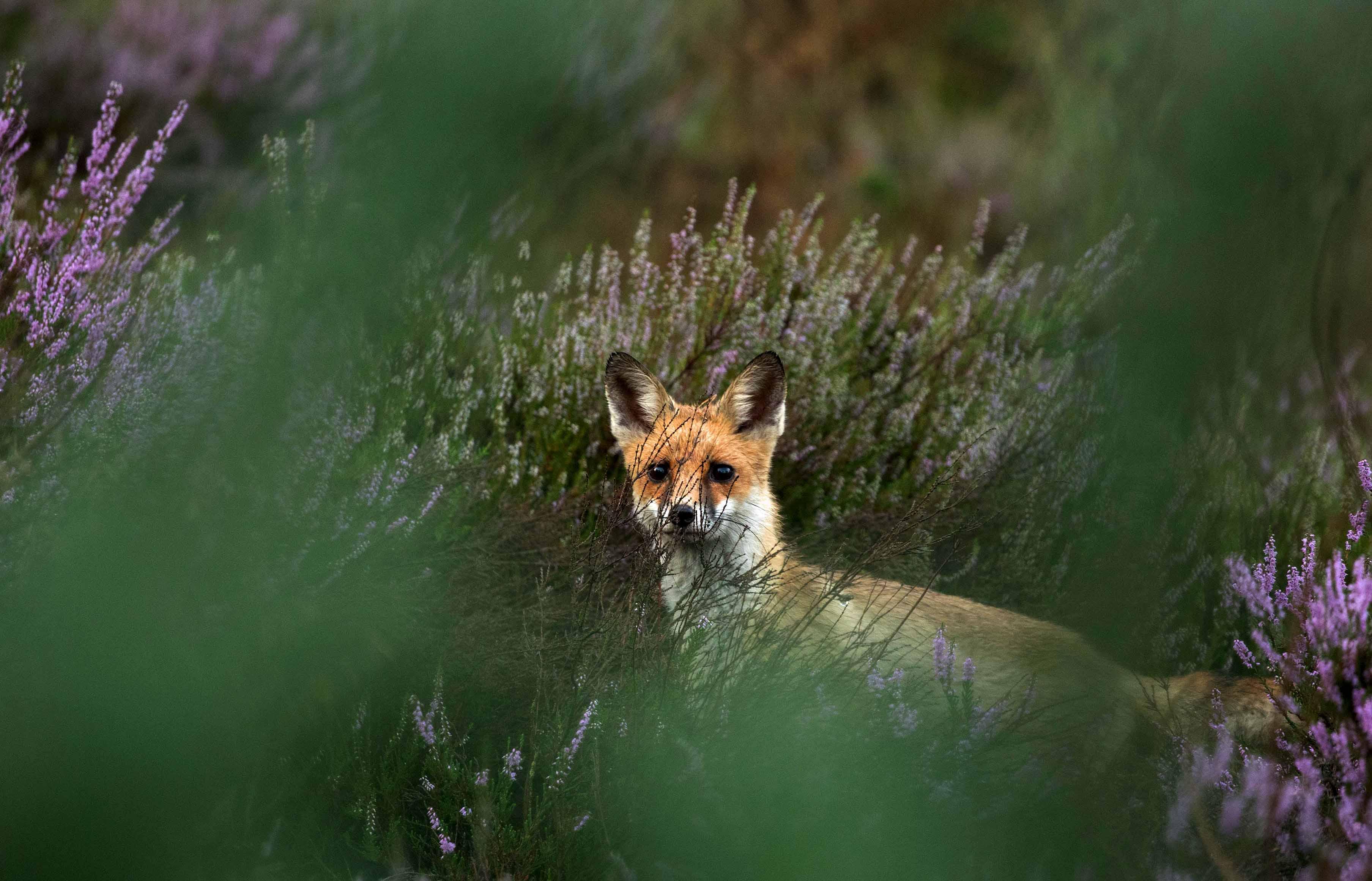 Een nieuwsgierige jonge vos in de paarse heide - Foto: ©De Veluwenaar