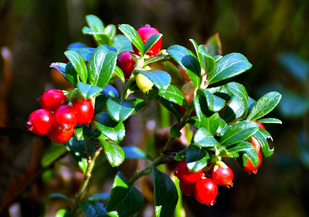 De rode bosbes of vossenbes is een gewaardeerde en geliefde vrucht - Foto: ©Fransien Fraanje
