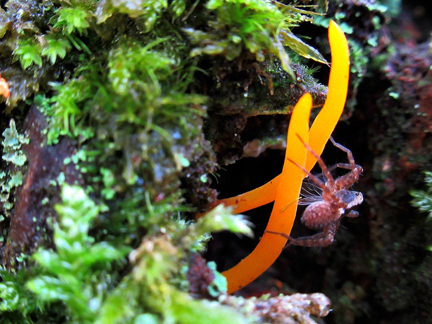 Kleverig koraalzwammetje en een piepklein spinnetje met prooi - Foto: ©Fransien Fraanje
