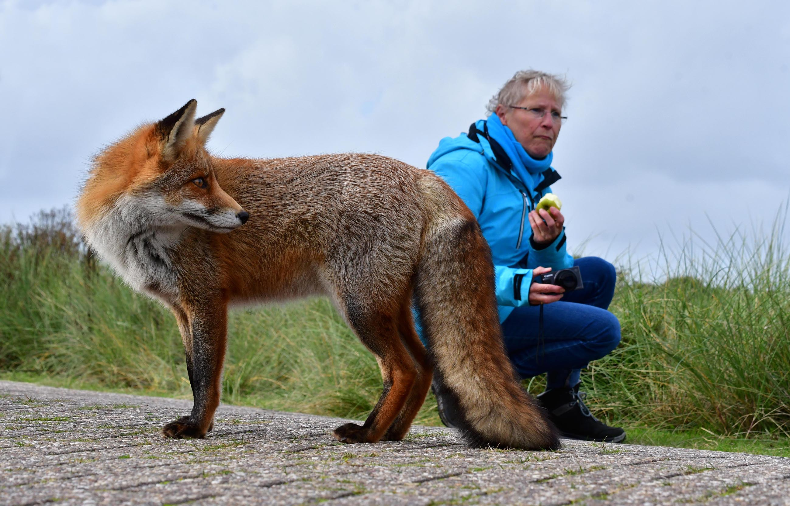 De vos kijkt nieuwsgierig naar Fransien die een appeltje aan het eten is - Foto: ©Louis Fraanje