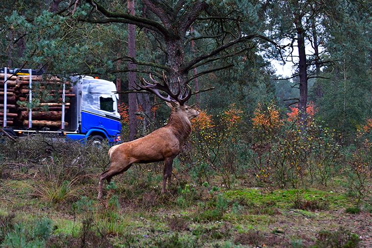 Hubertus rekt zich uit terwijl de vrachtwagen passeert – Foto: ©Louis Fraanje