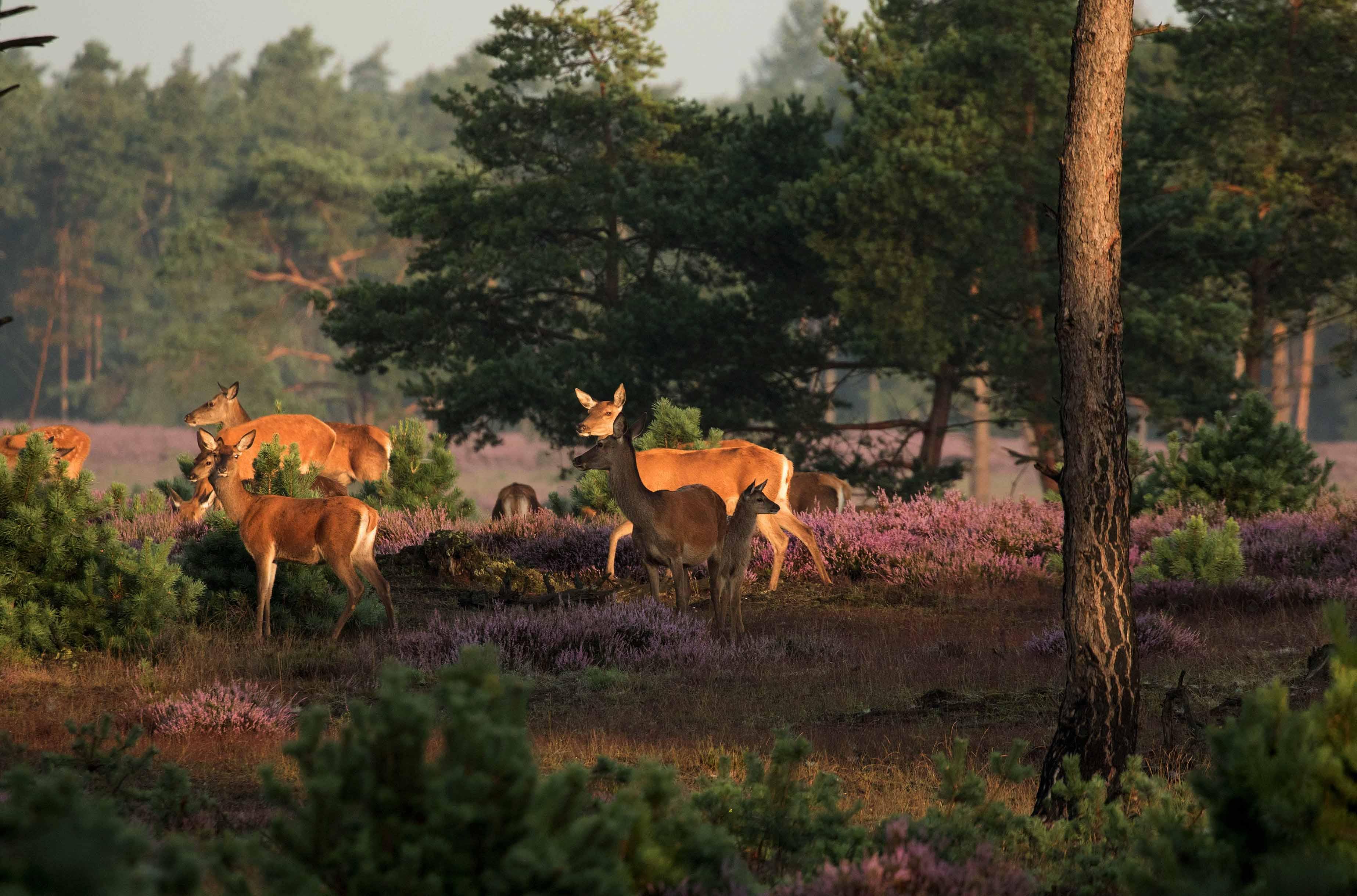 Even later krijg ik een aantal stuks roodwild met kalveren in beeld - Foto: ©De Veluwenaar