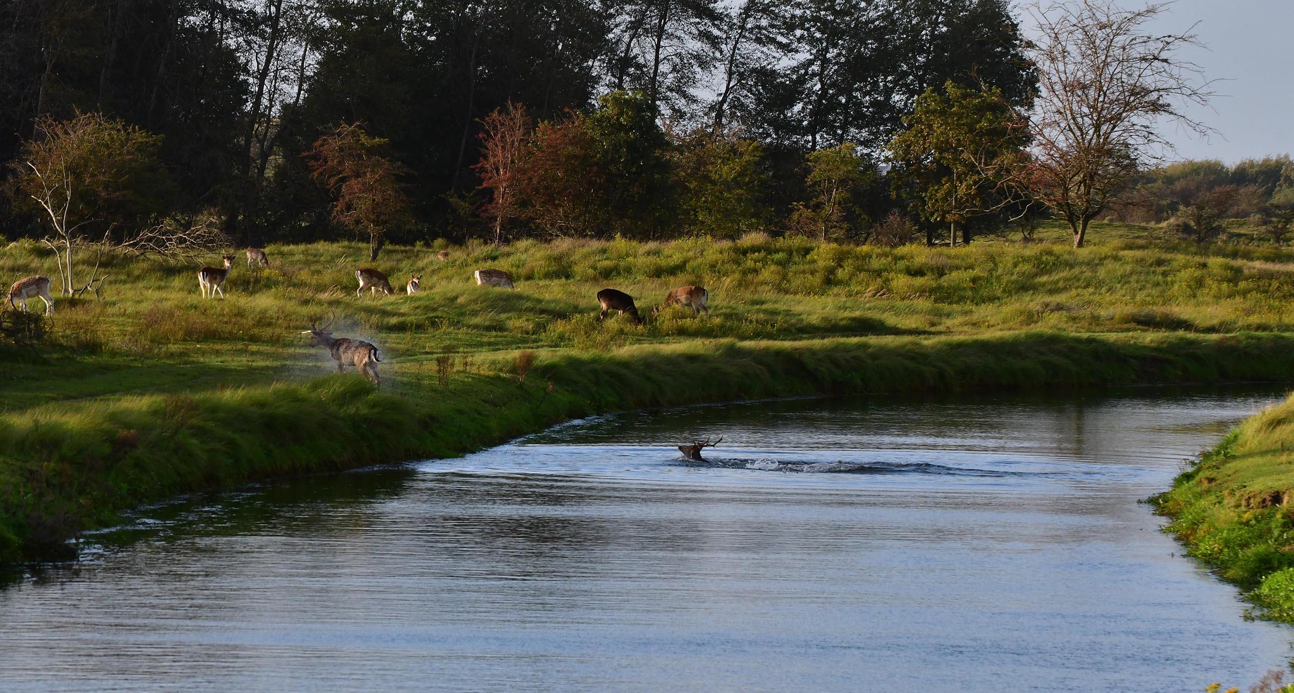 En zwemmen beide herten naar de overkant – Foto: ©Louis Fraanje