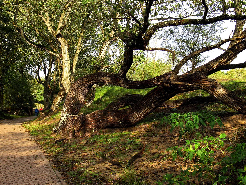 Deze oude kromgewaaide boom is een waar kunstwerk der natuur - Foto: ©Fransien Fraanje