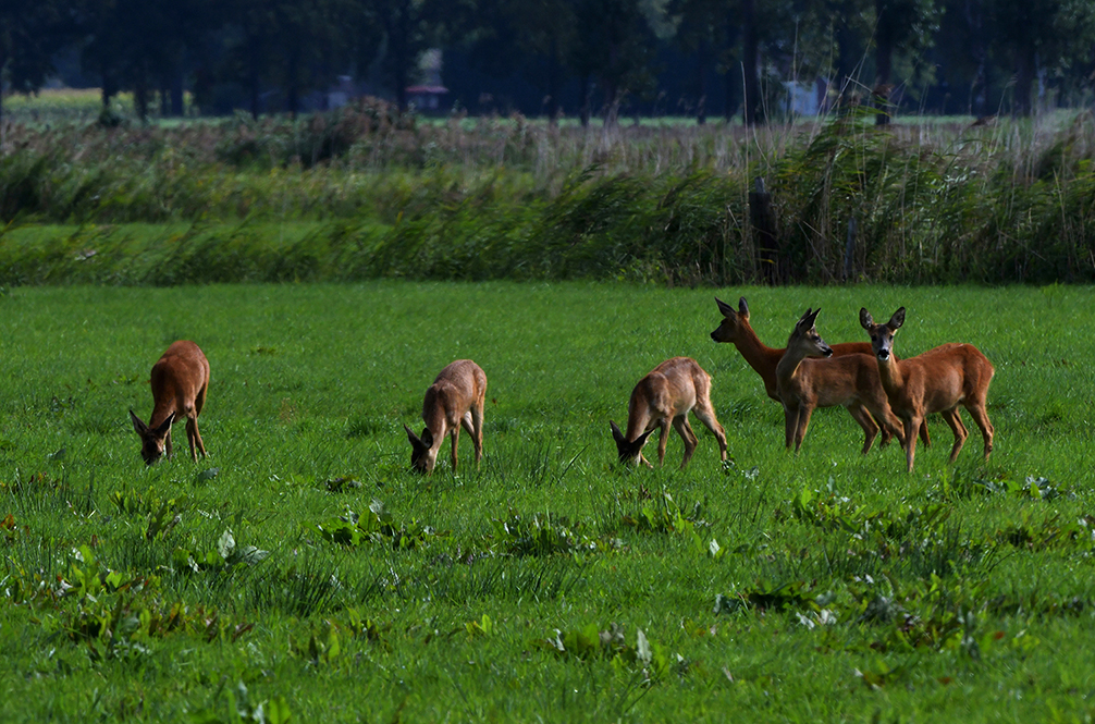 Er is altijd wel een oplettend dier dat extra alert is, zie het ree rechts op de foto – Foto: ©Louis Fraanje
