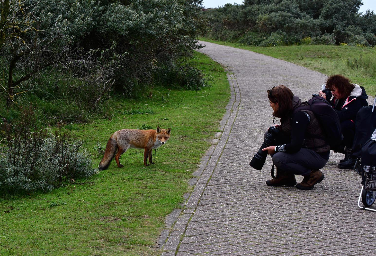 De vos trekt zich helemaal niets aan van de fotograferende dames - Foto: ©Louis Fraanje