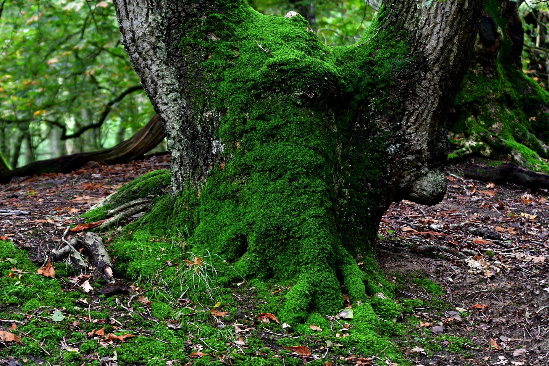 De voet van een prachtige oude- en bemoste eikenboom - Foto: ©Louis Fraanje