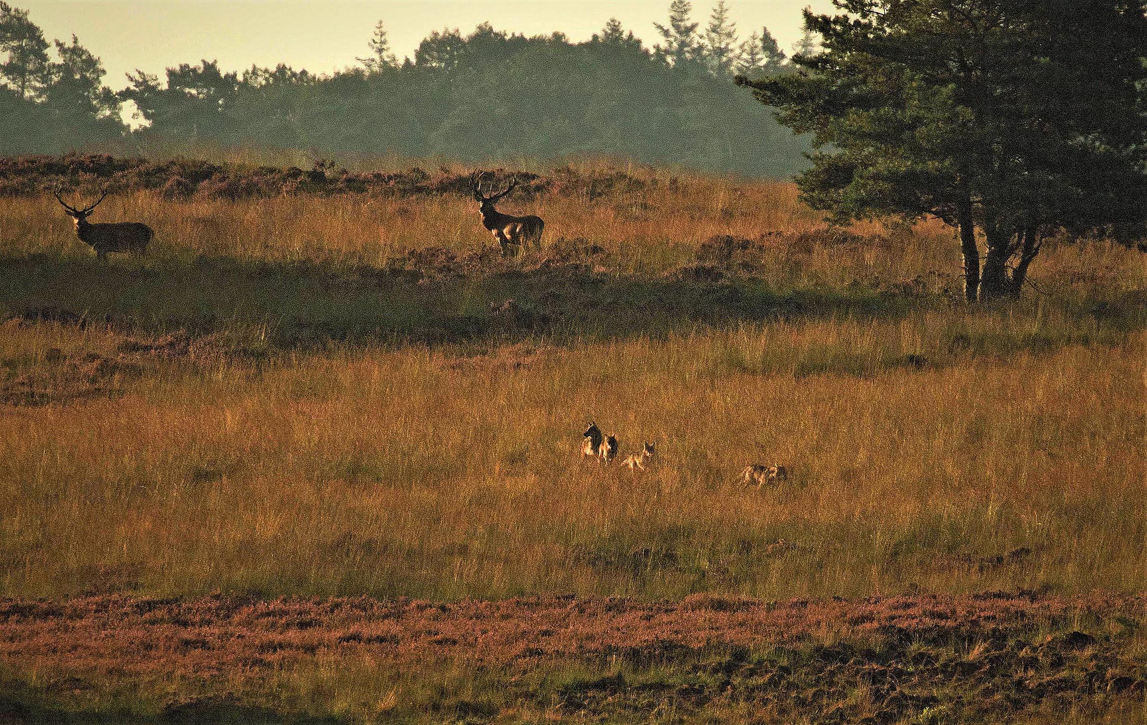 Een tweetal herten kijkt verbaasd naar de voorbijkomende wolven - Foto: ©De Veluwenaar