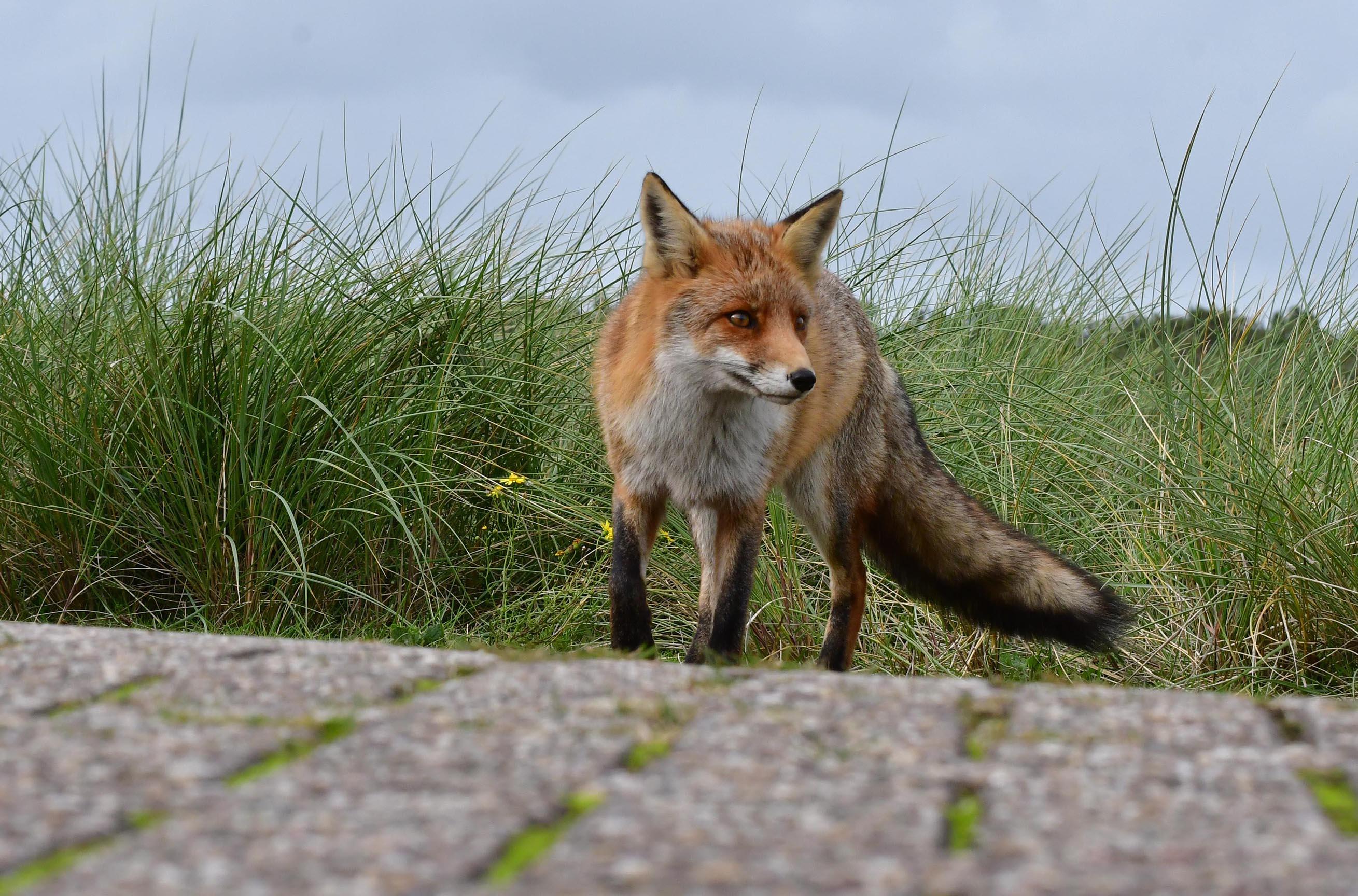 Vanuit het hoge gras kwam een vos aanlopen - Foto: ©Louis Fraanje
