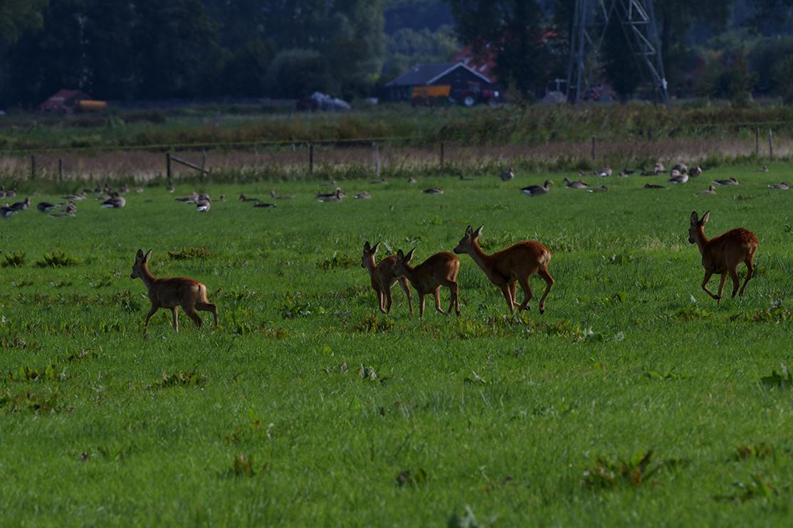 Ze nemen uiteindelijk toch de benen en huppelen door het gras – Foto: ©Louis Fraanje