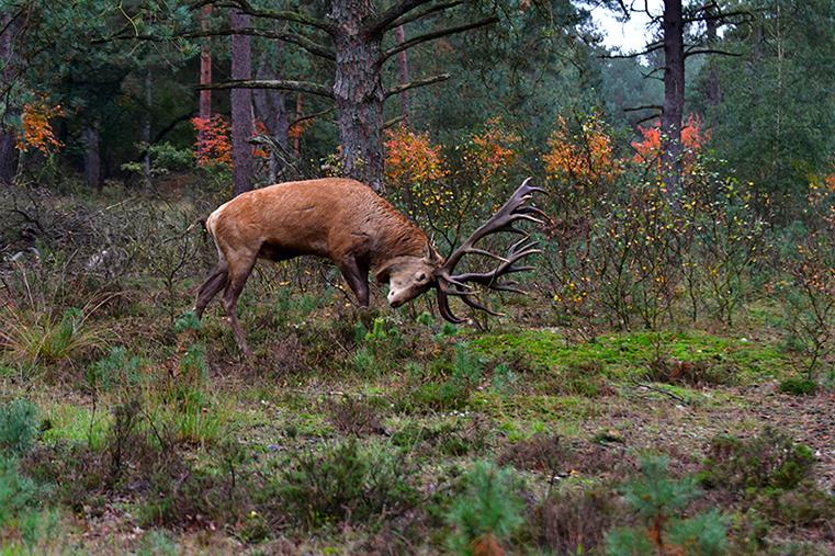 Hij ramt met zijn gewei over de bosbodem – Foto: ©Louis Fraanje