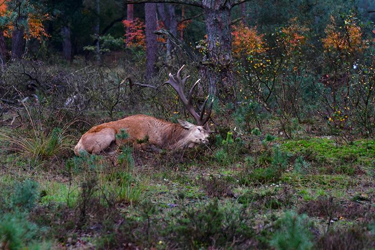 Dan gaat Hubertus plat op de grond liggen – Foto: ©Louis Fraanje