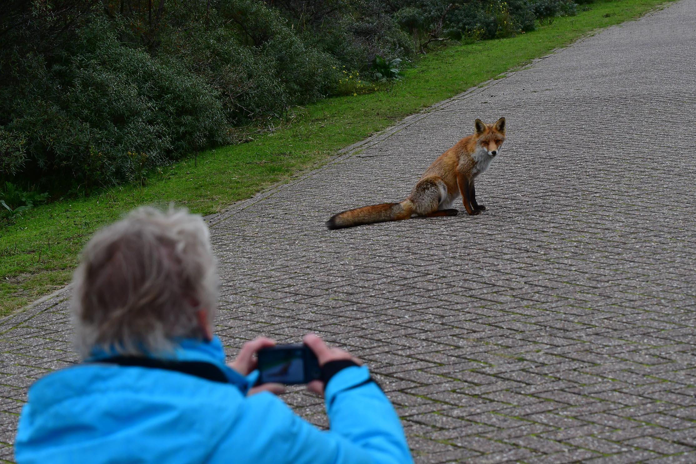 De vos gaat er maar eens even 'goed' voor zitten – Foto: ©Louis Fraanje