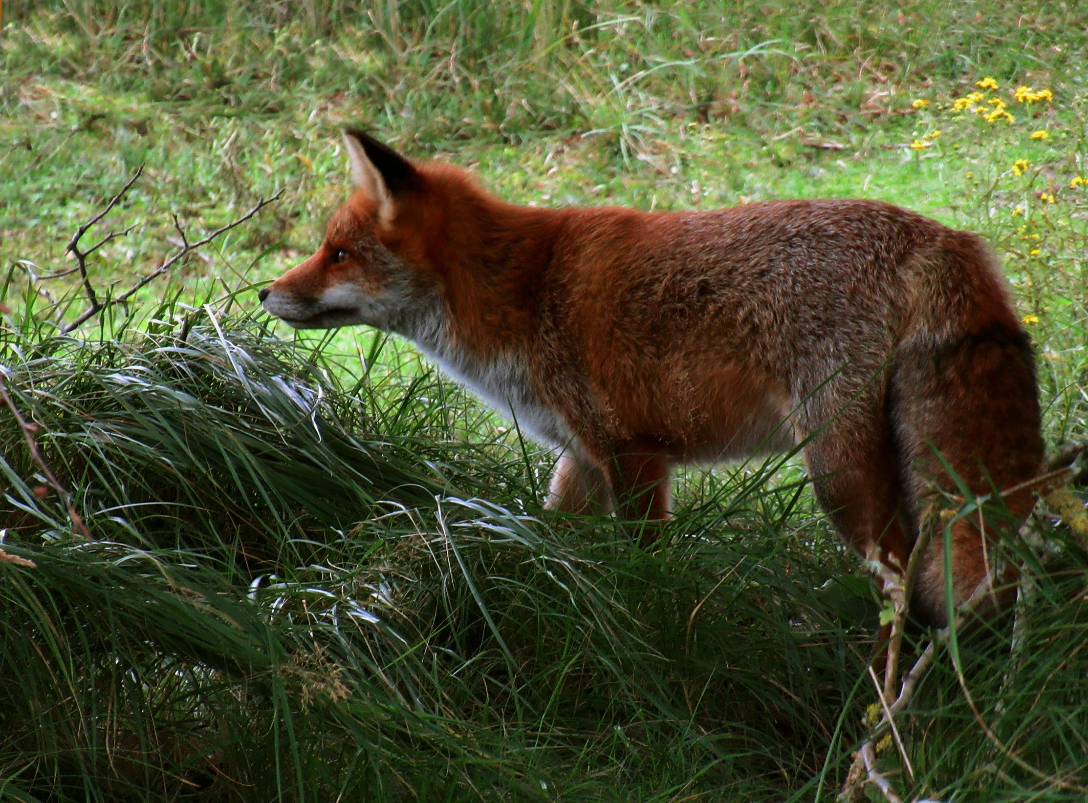 Prachtig beeld van de vos in het hoge gras – Foto: ©Fransien Fraanje