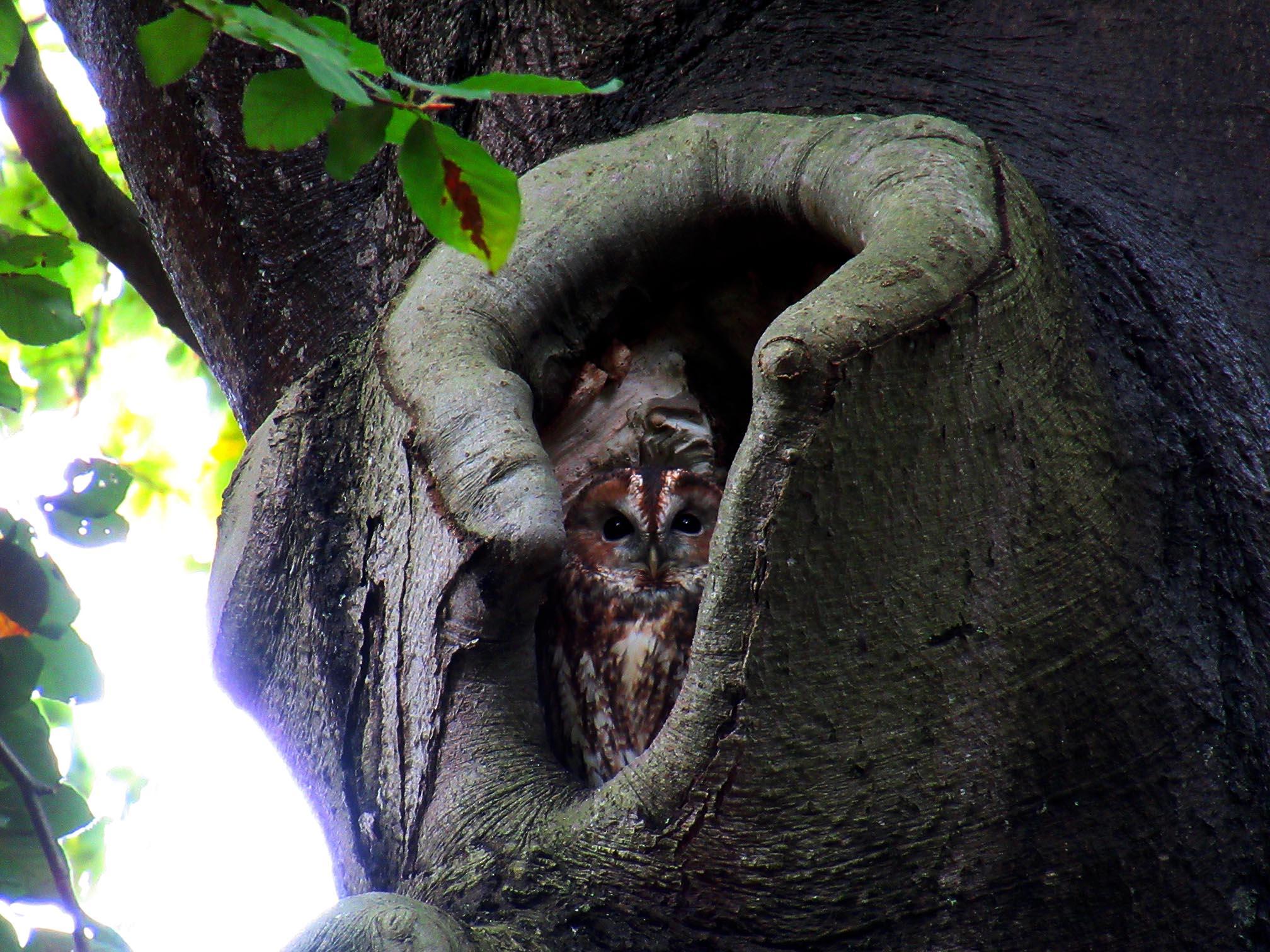 Daar zat de bosuil hoog in de boom in zijn 'roestplaats' uit te rusten - Foto: ©Fransien Fraanje