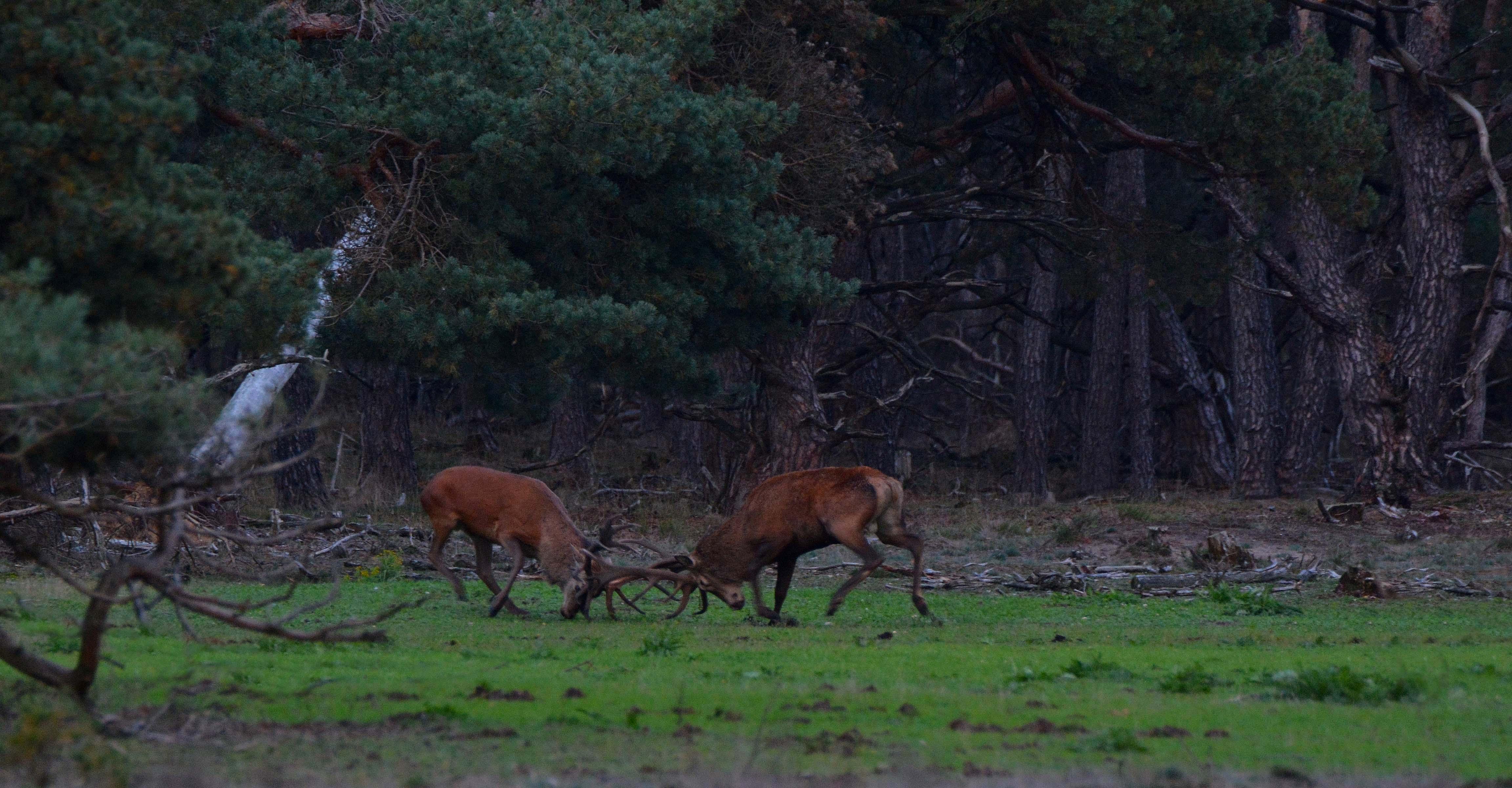 Het bronstgevecht bij de Wildbaanweg op de Hoge Veluwe - Foto: ©Florus van den Berg