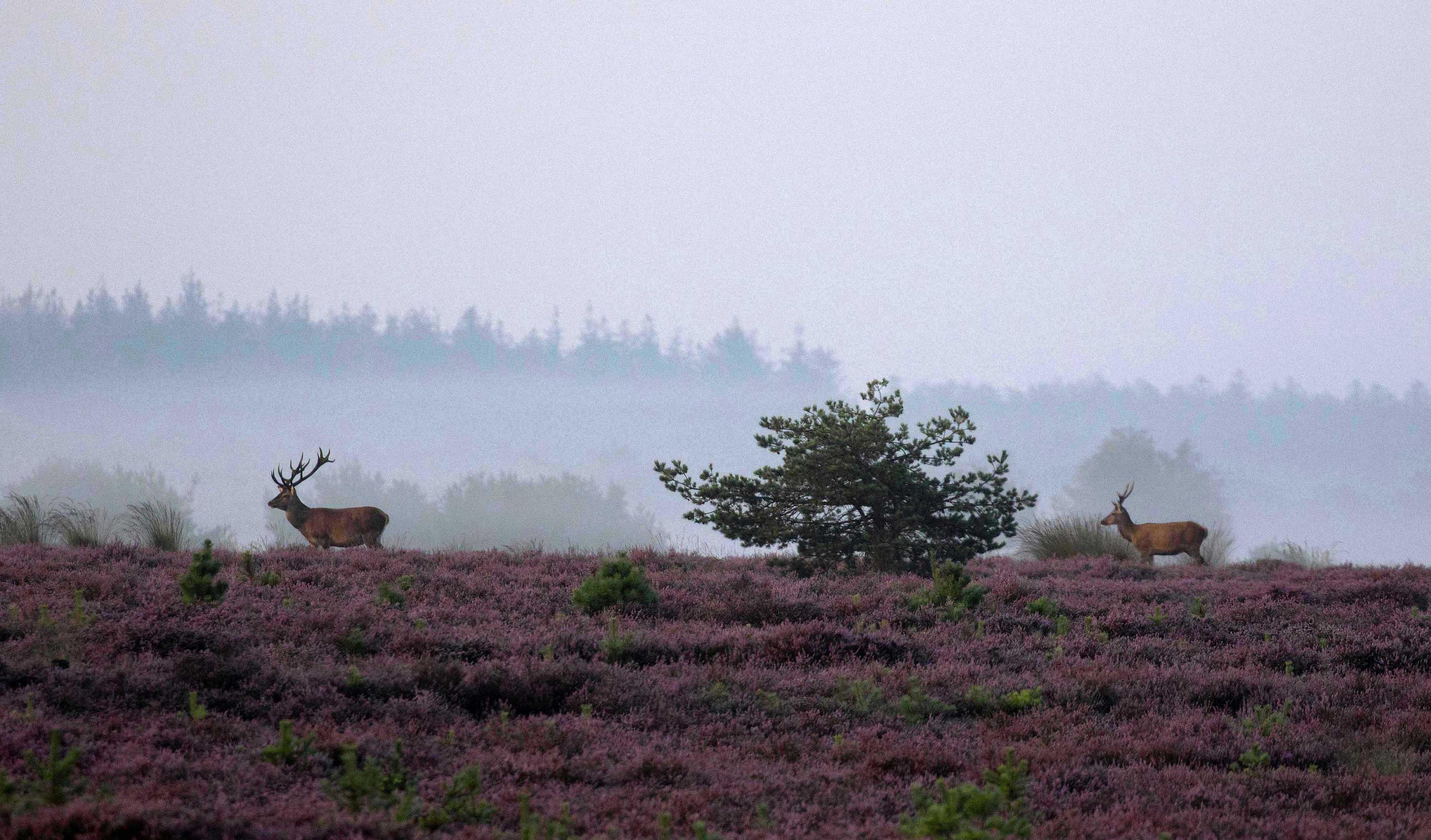 Edelherten op de heide en de laatste mistbanken - Foto: ©de Veluwenaar