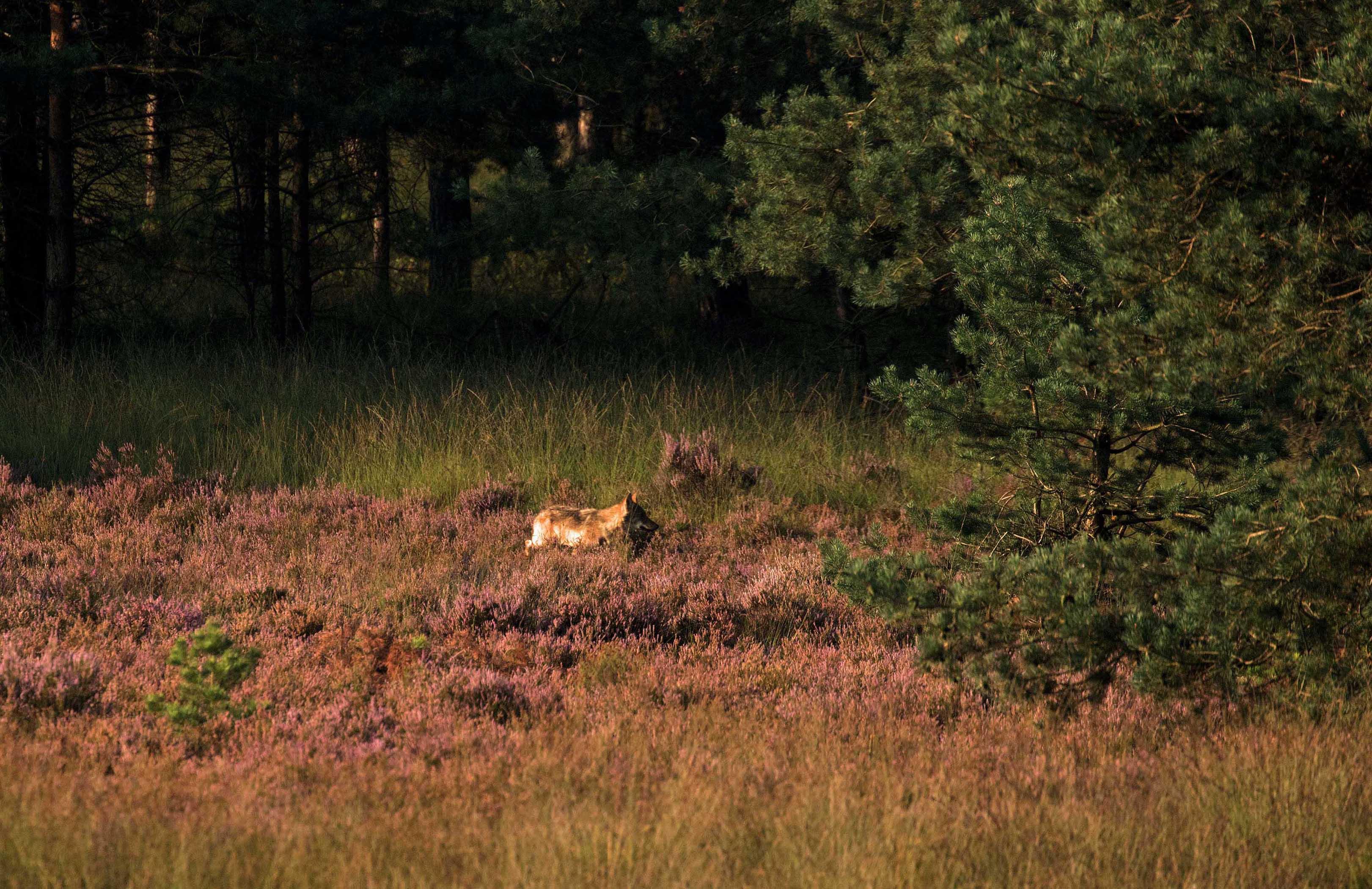 Een struinende wolf in de heide op de Veluwe - Foto: ©de Veluwenaar