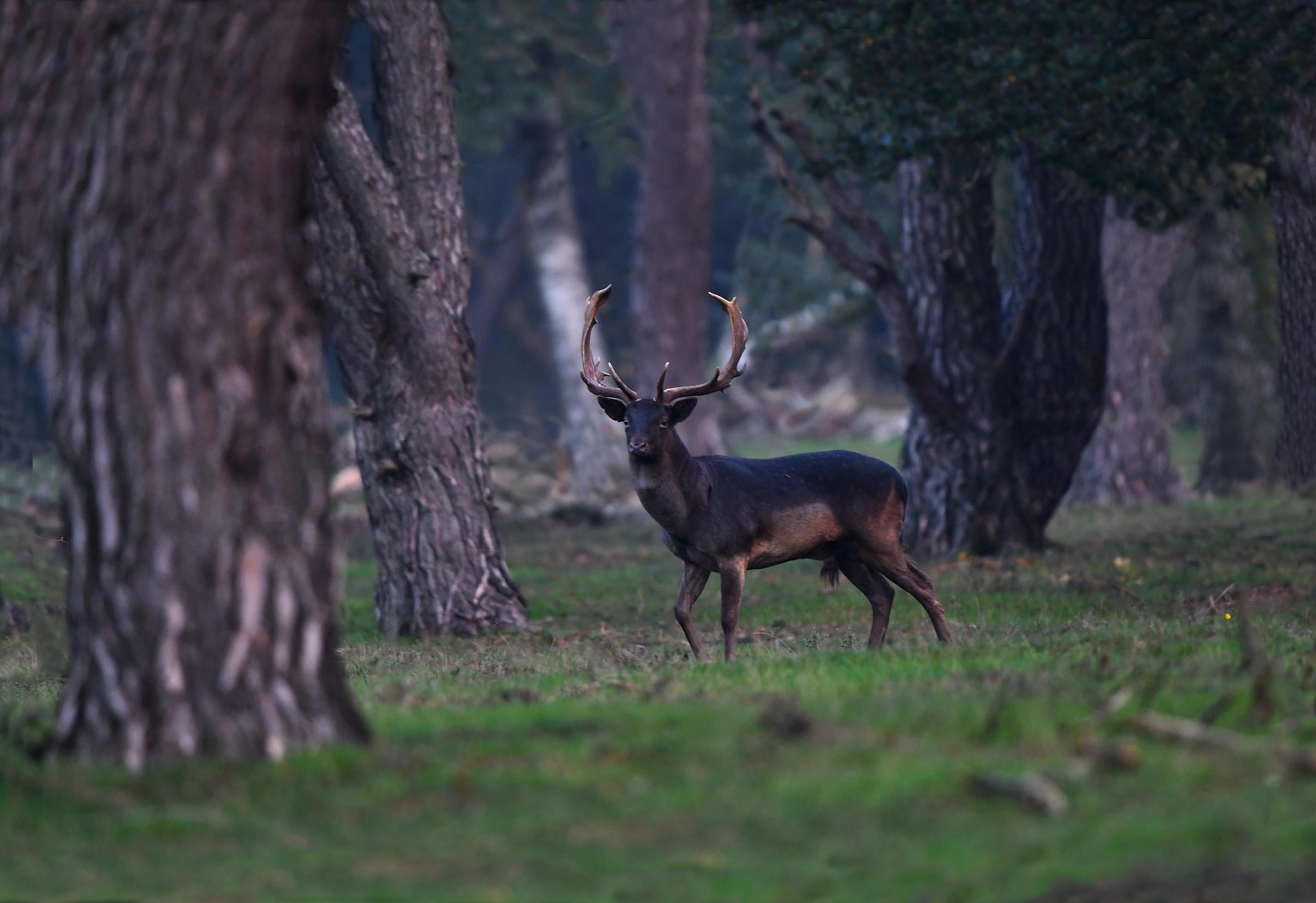 Er verscheen een prachtige (bijna)zwarte dambok tussen de bomen – Foto: ©Louis Fraanje