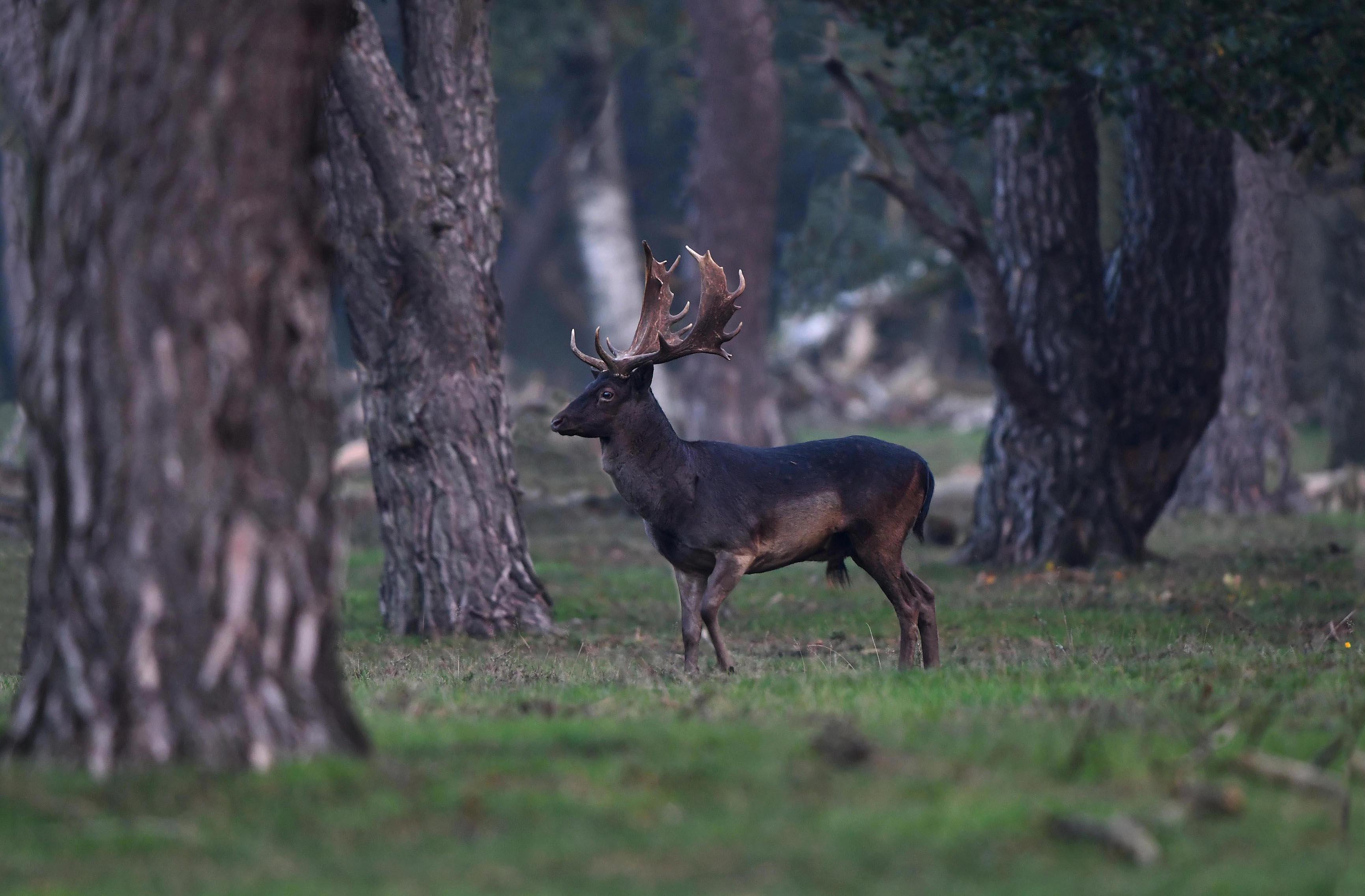 Als een koning paradeerde hij stap voor stap door het bos – Foto: ©Louis Fraanje