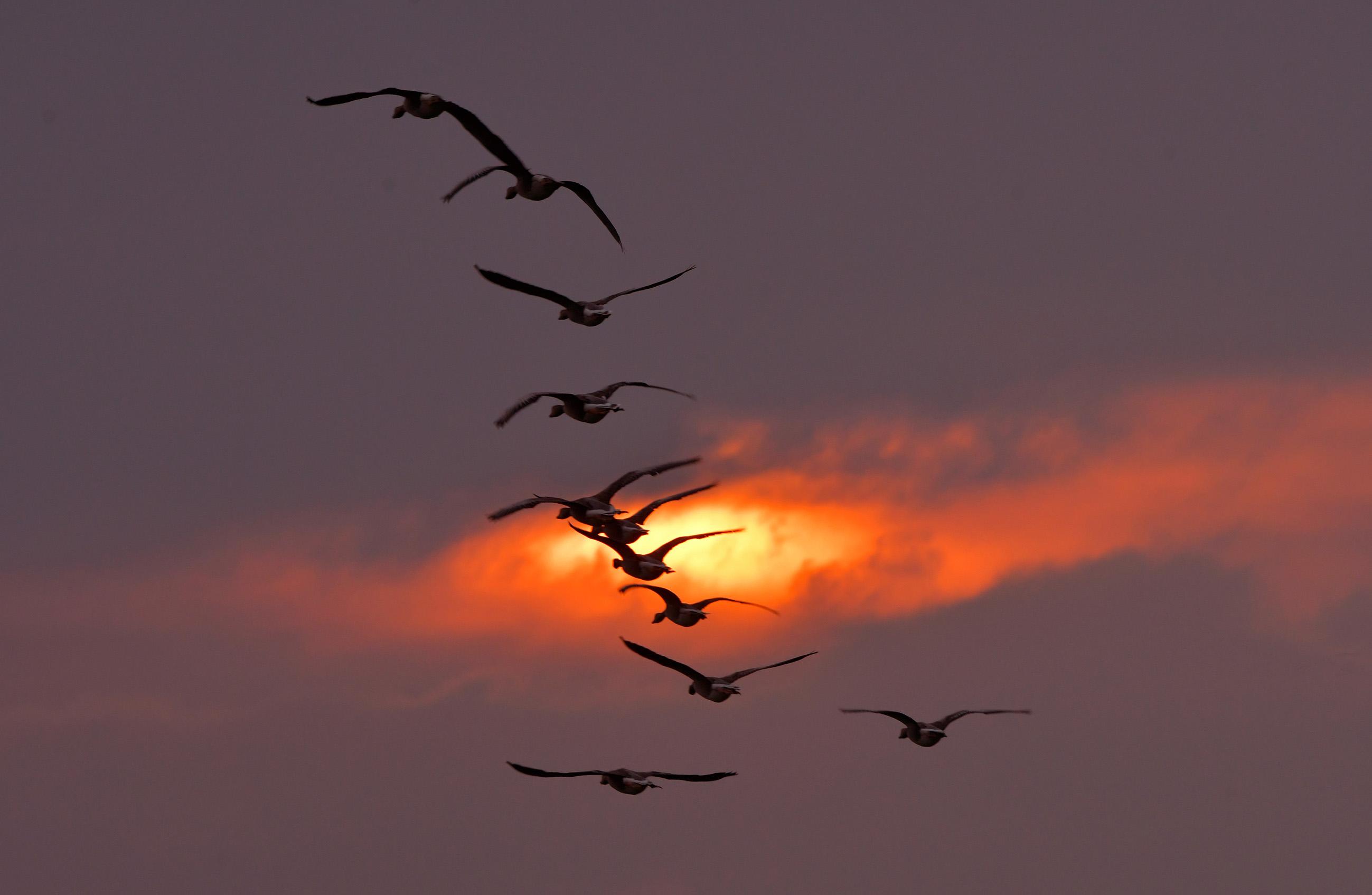Een vlucht wilde ganzen met een laatste streep zonlicht aan een bewolkte de avondhemel - Foto: ©Louis Fraanje