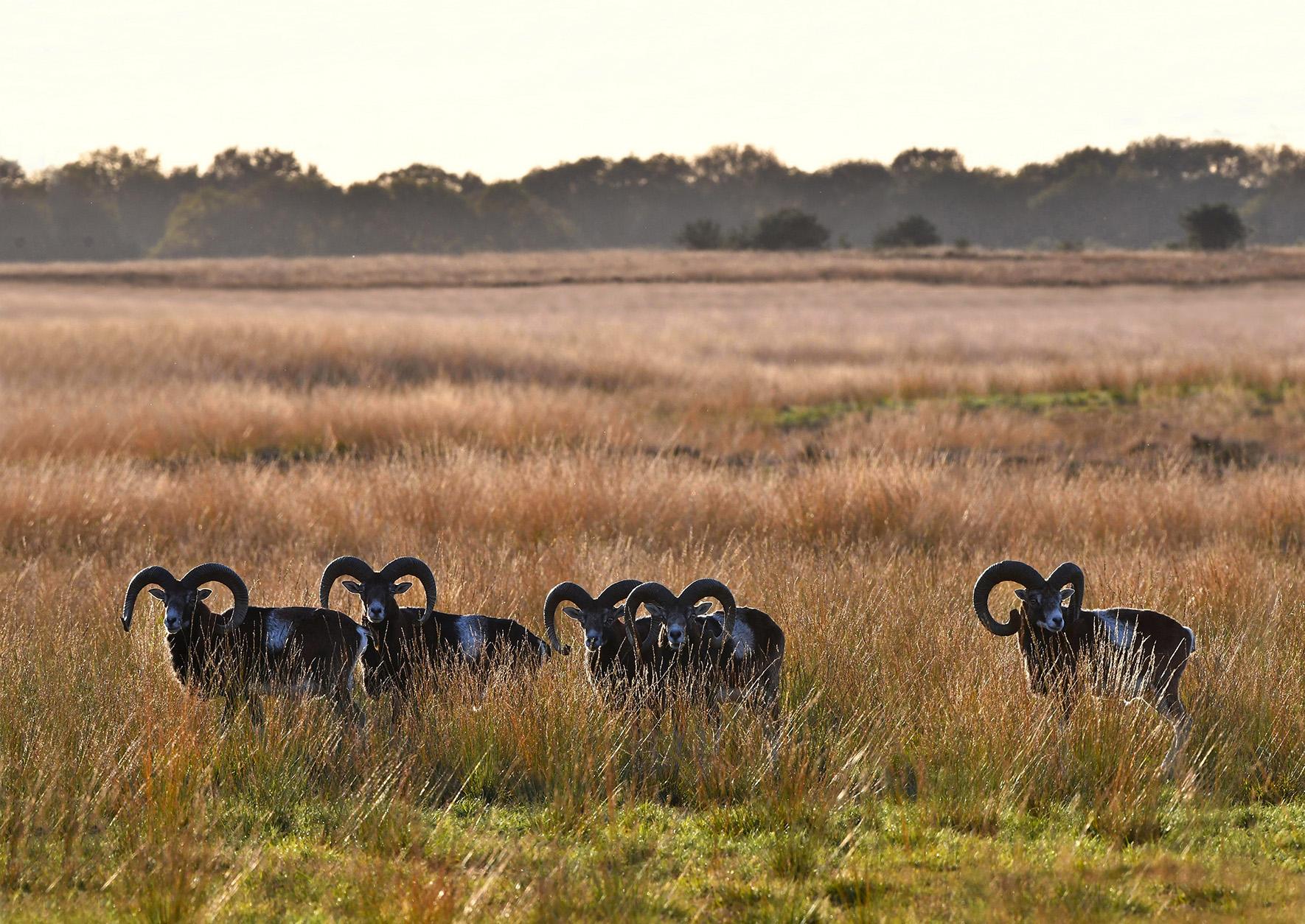 En zo stonden wij 'oog in oog' met de moeflons op het Reemsterveld – Foto: ©Louis Fraanje