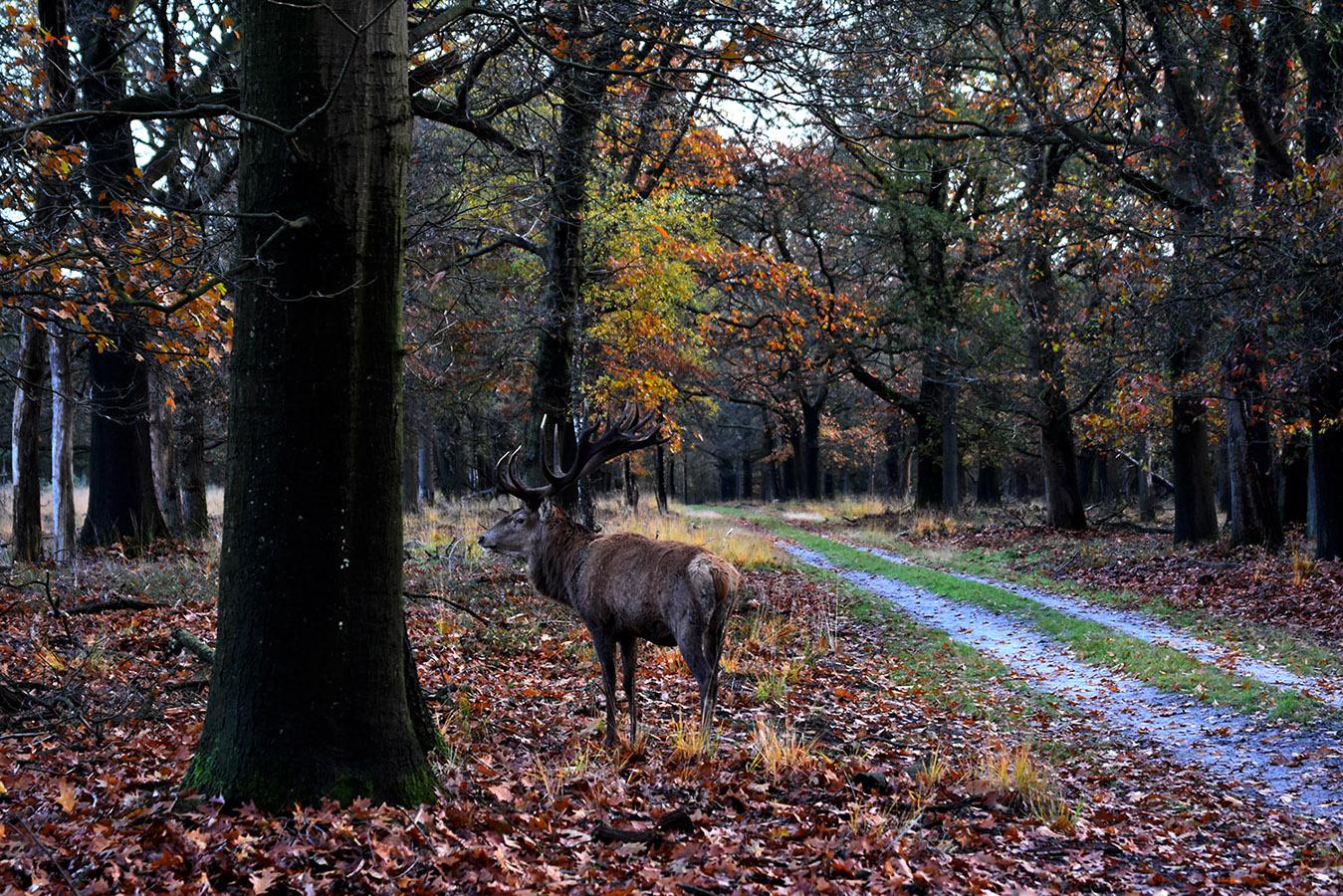 Daar staat in het herfstbos naast het bospad het hert Hubertus – Foto: ©Louis Fraanje