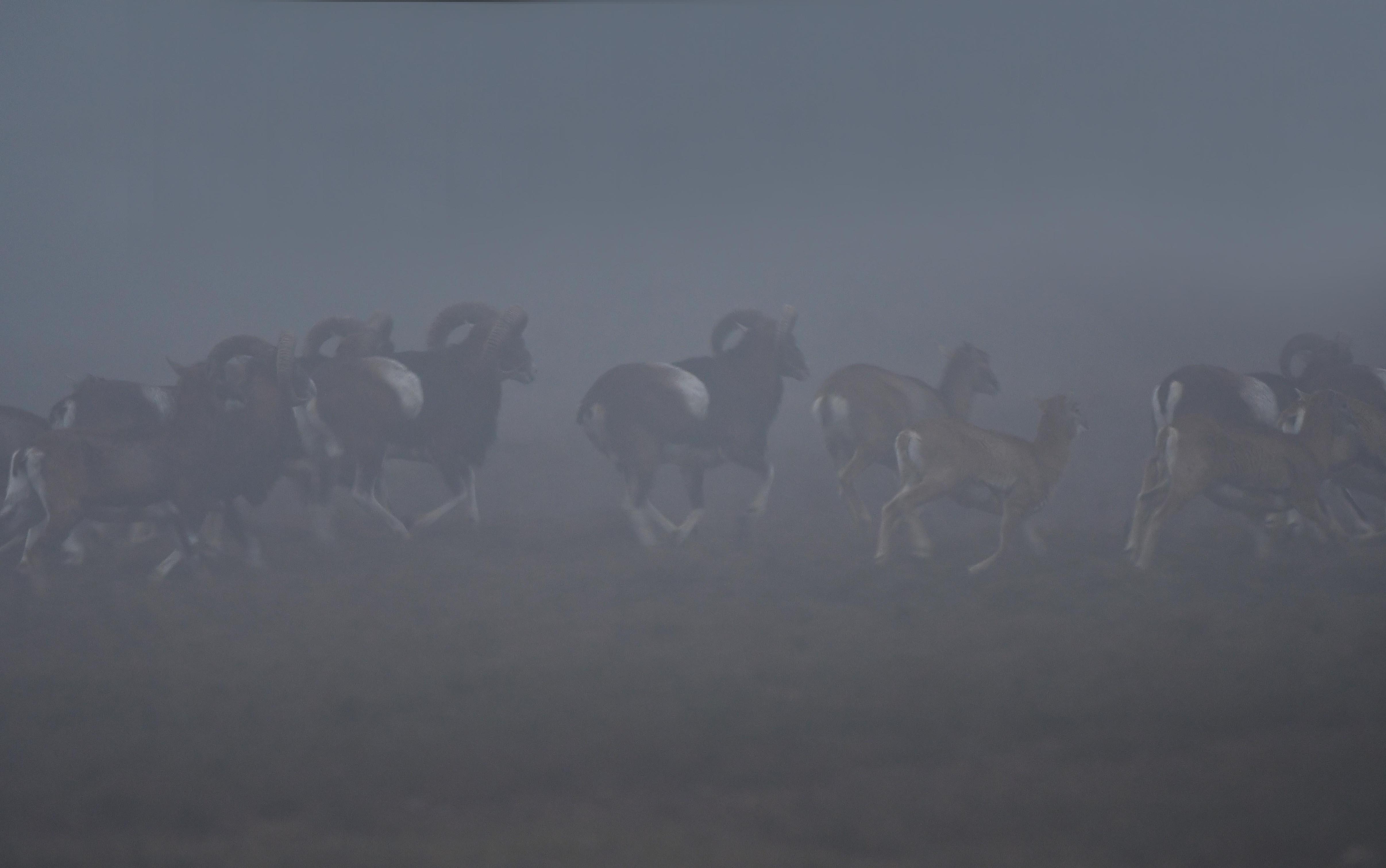 Best heel bijzonder als zo'n kudde moeflons vlak voor je langs komt rennen - Foto's: ©Louis Fraanje