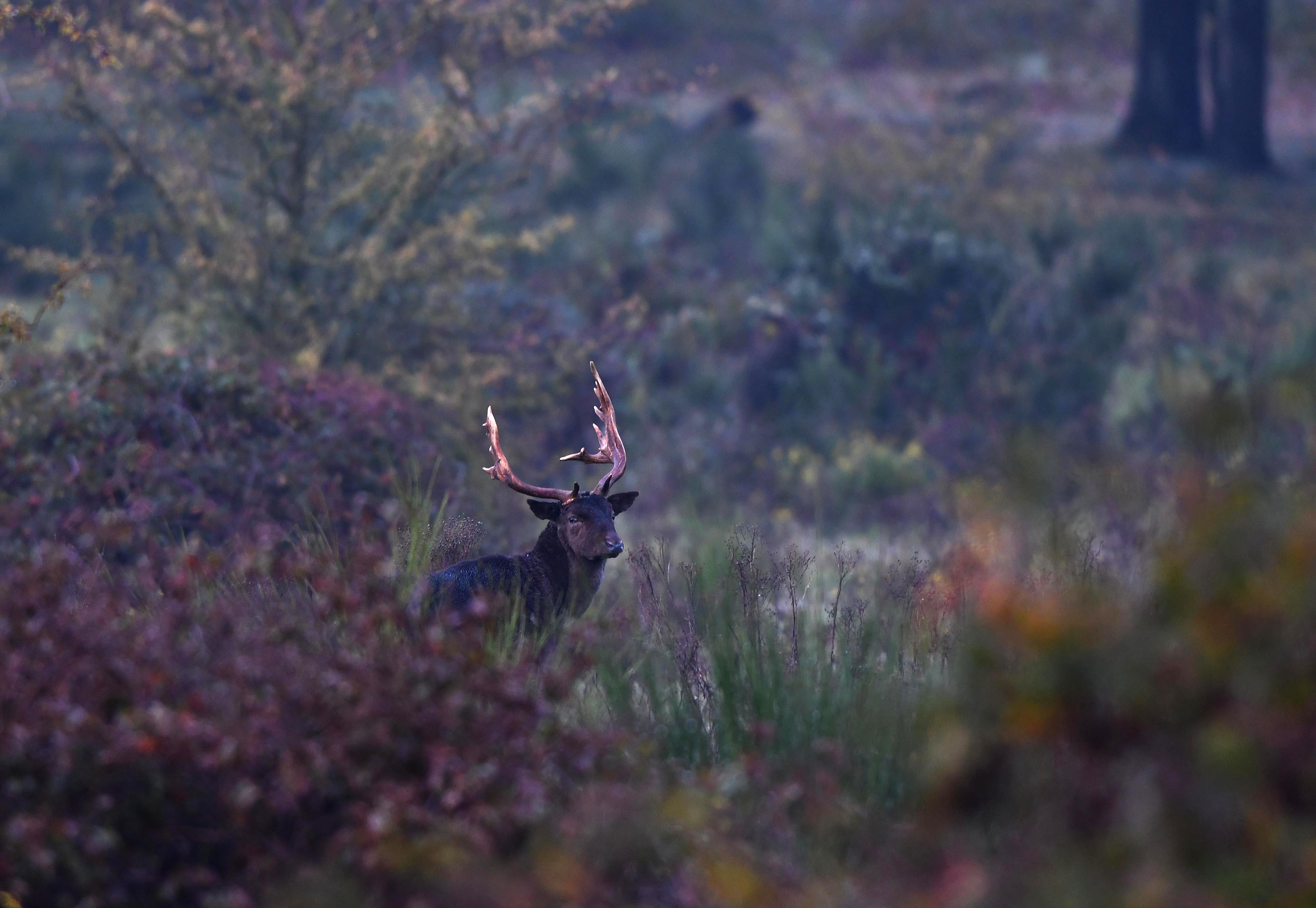 Plotseling sta ik 'oog in oog' met deze schitterende dambok – Foto: ©Louis Fraanje
