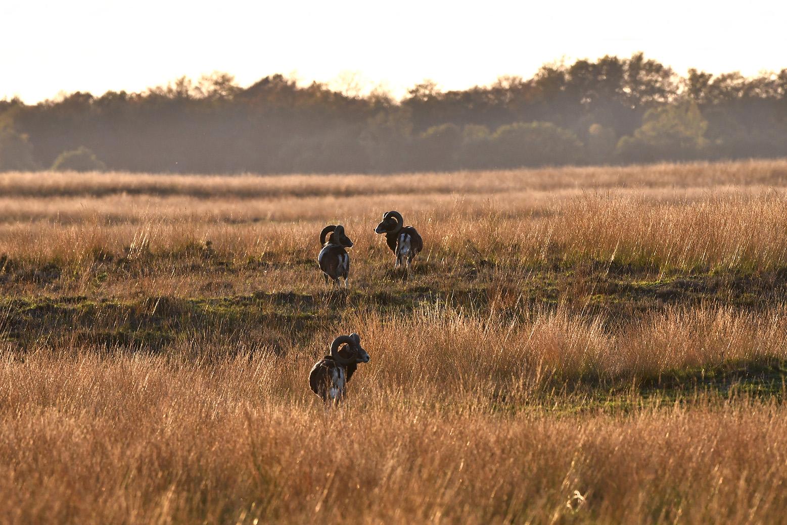 Later trokken ze verder het veld in en verdwenen in het hoge gras van het Reemsterveld - Foto: ©Louis Fraanje