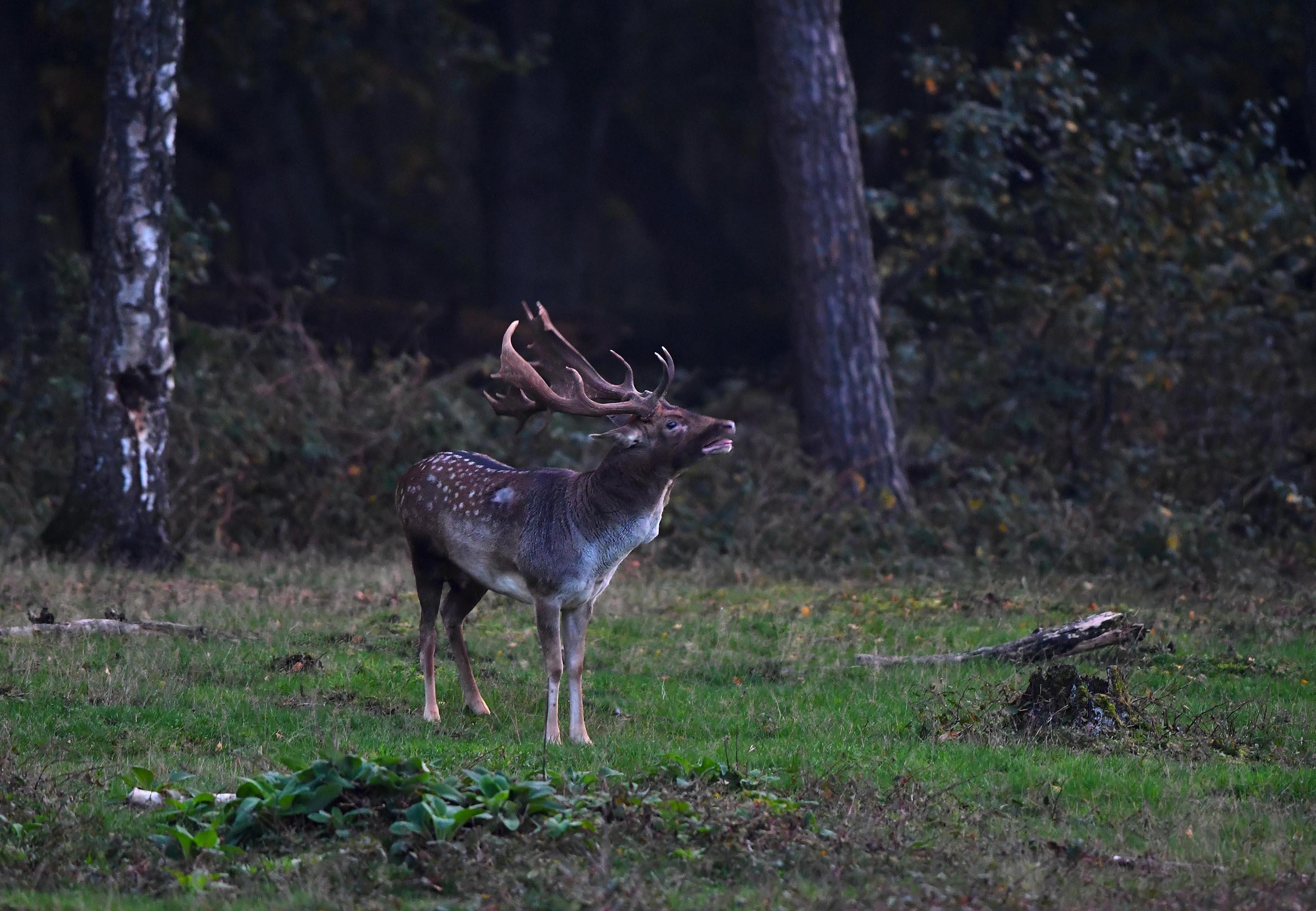 Al burlend bleef de dambok in de bosrand staan – Foto: ©Louis Fraanje
