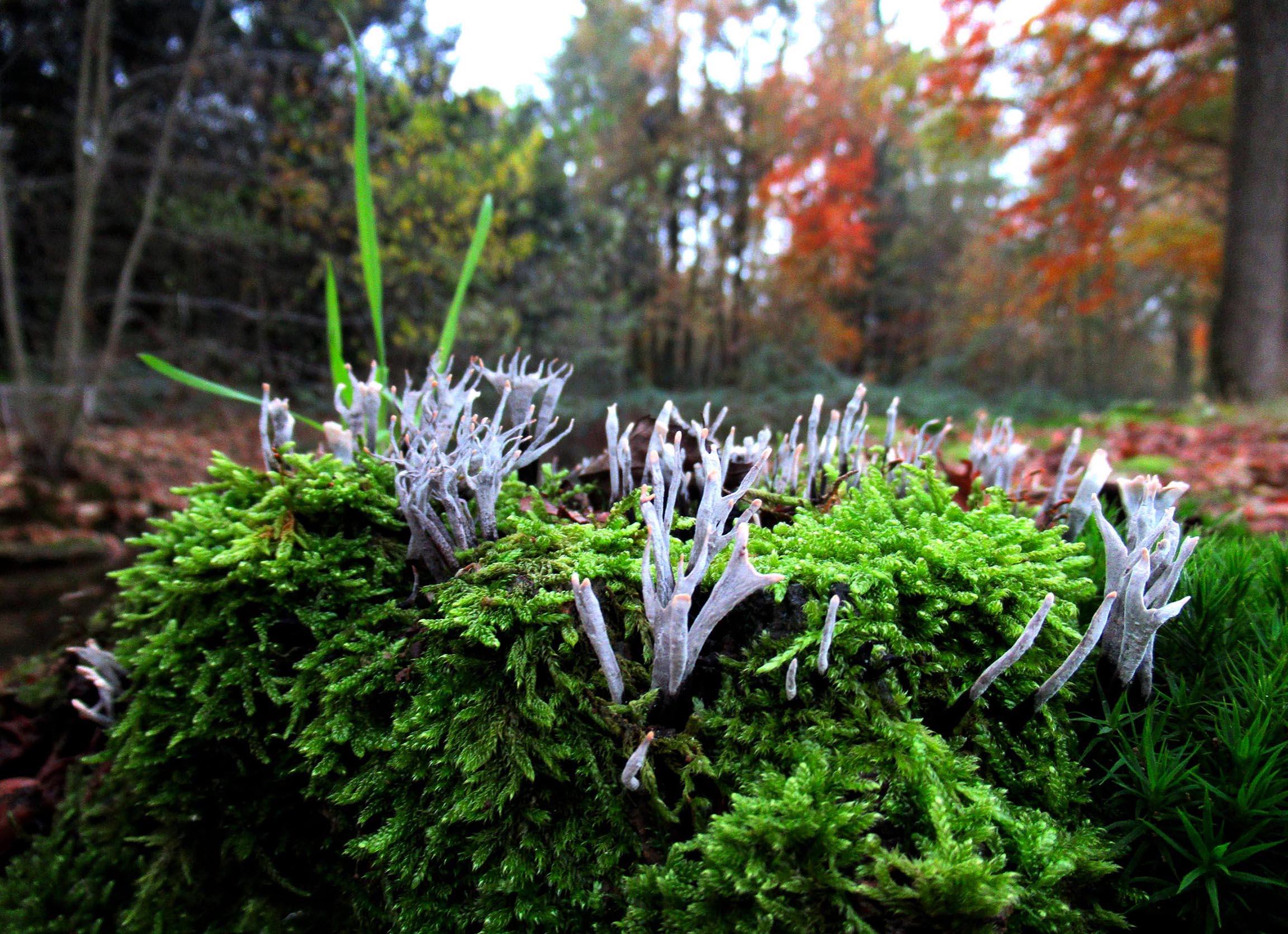 Prachtige witte geweizwammetjes tussen het mos op een oude boomstronk - Foto: ©Fransien Fraanje
