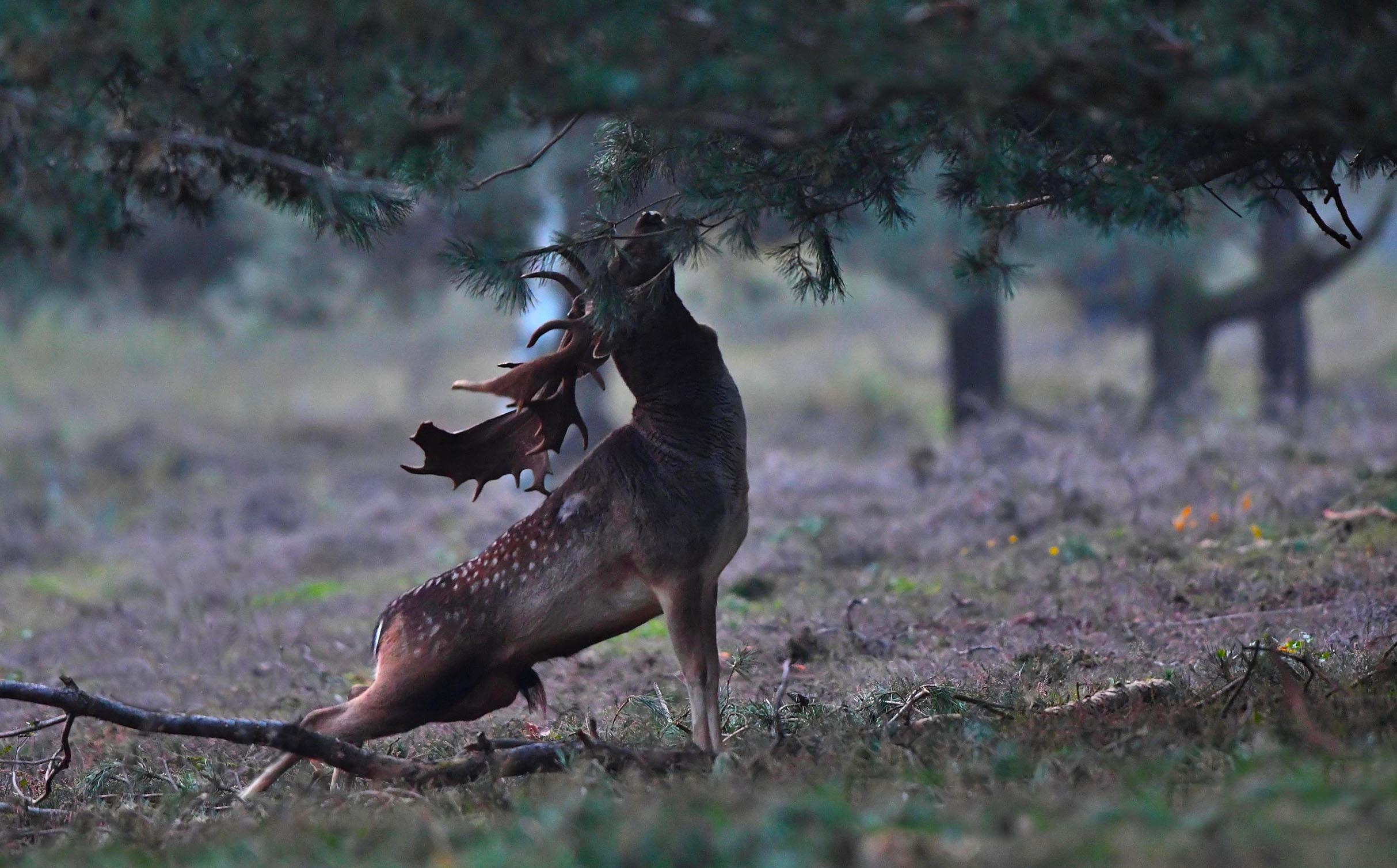 De dambok zakte door de achterpoten en nam de bekende 'bronsthouding' aan – Foto: ©Louis Fraanje