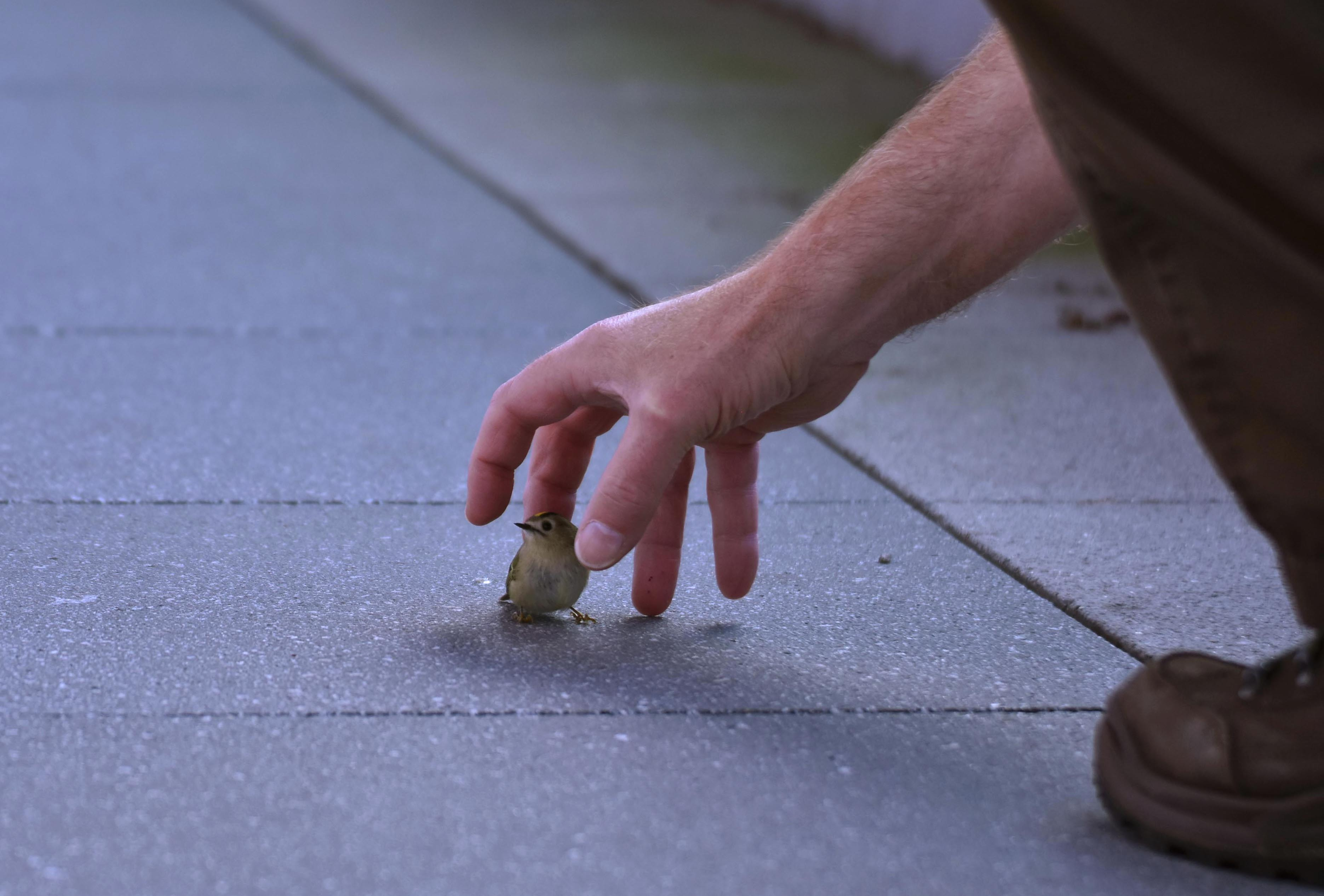 Ikzelf met mijn grote hand boven het kleine vogeltje, wat een verschil! – Foto: ©Fransien Fraanje