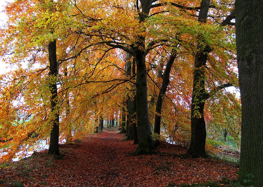 Herfst in al haar schoonheid op een beukenlaantje van Landgoed Stoutenburg – Foto: ©Louis Fraanje
