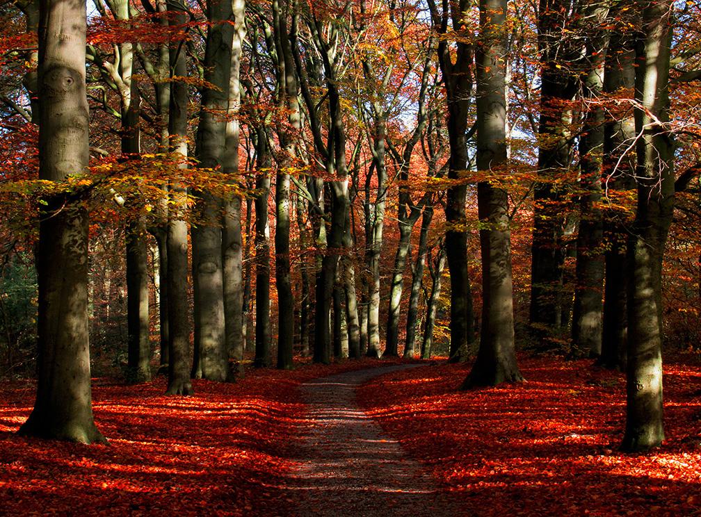 Het oude beukenbos in herfstsfeer - Foto's: ©Louis Fraanje