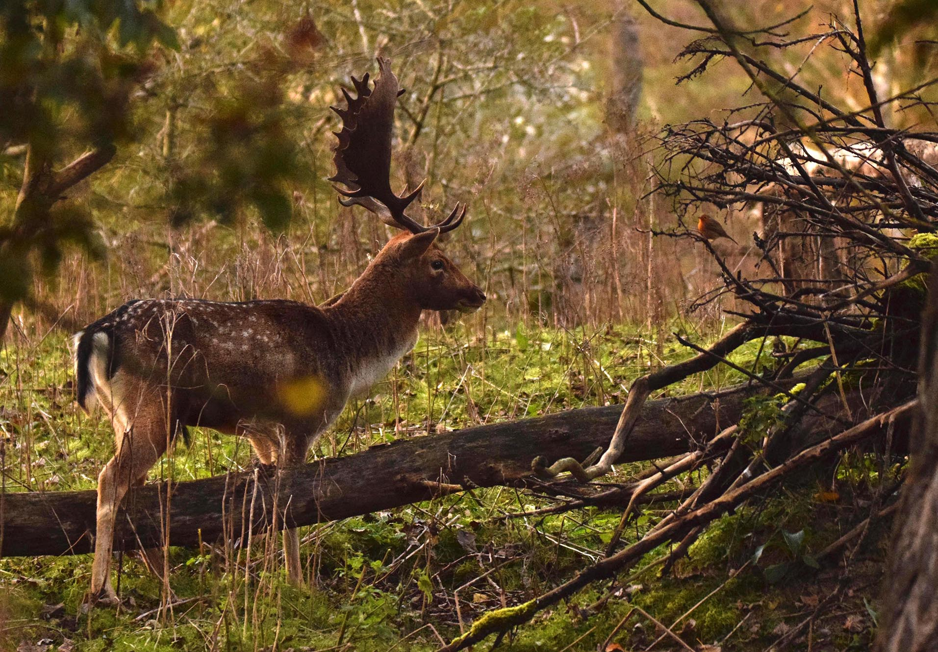 Het damhert kijkt nieuwsgierig naar het roodborstje - Foto: ©Nel Vlieland