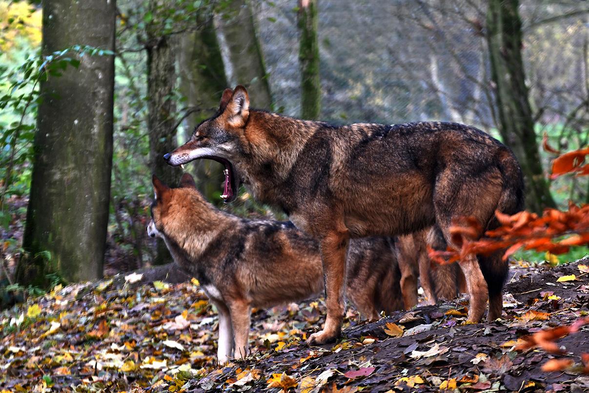 Zal de wolf er voor gaan zorgen dat de moeflons verdwijnen? – Foto: ©Louis Fraanje