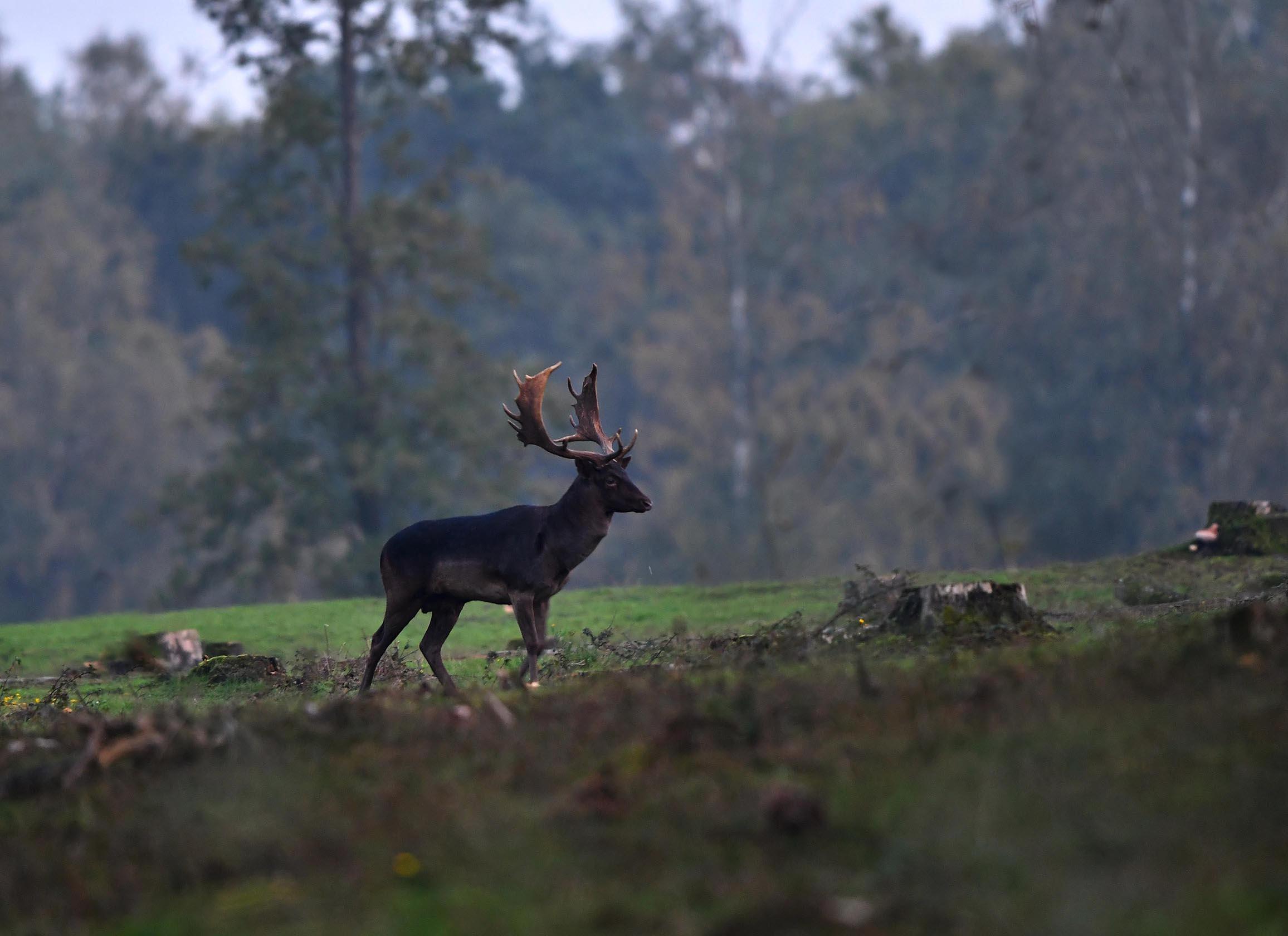 De donkere dambok stapt resoluut op zijn rivaal af – Foto: ©Louis Fraanje