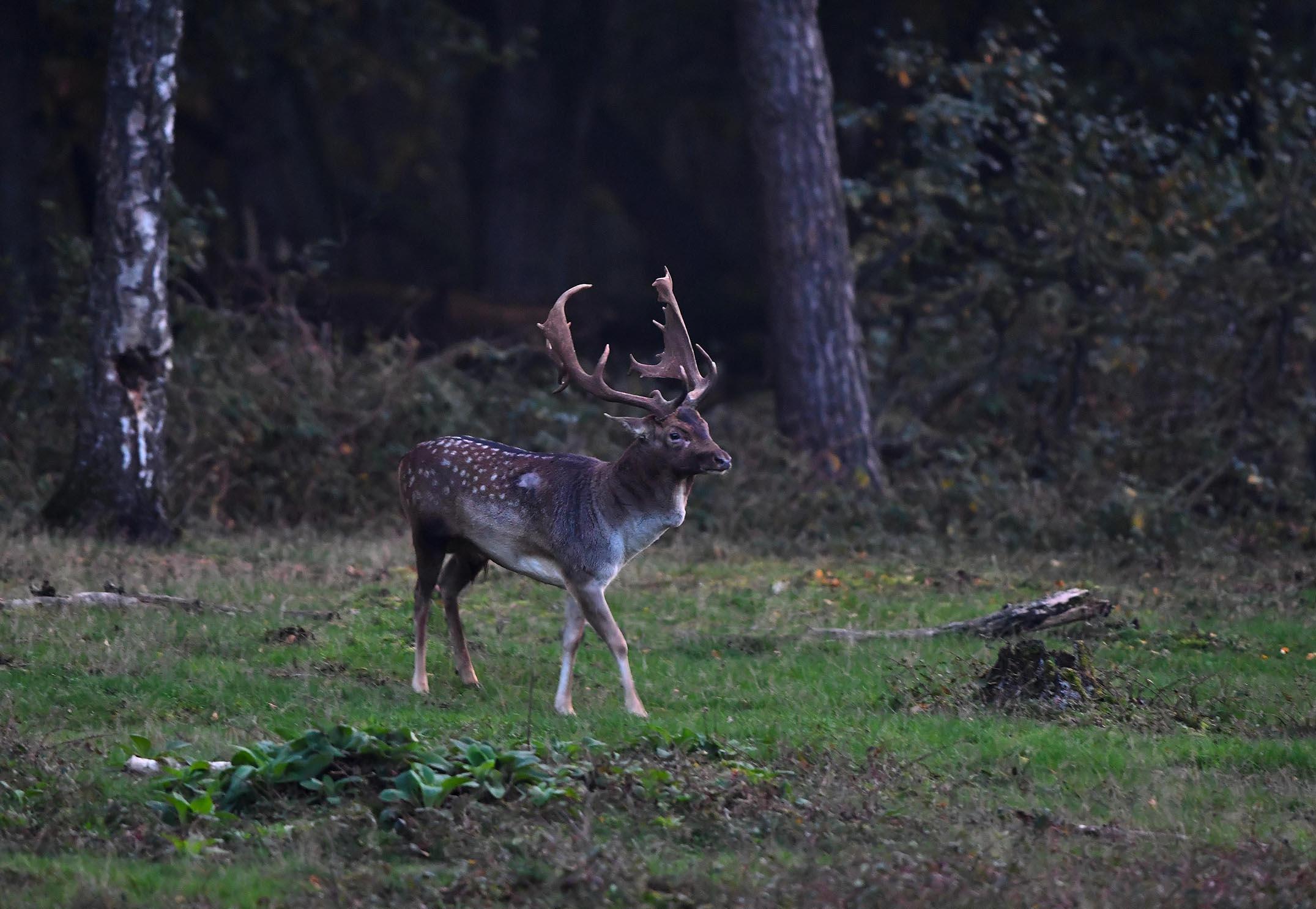 Uiteindelijk stak hij het open veld over naar de overkant – Foto: ©Louis Fraanje