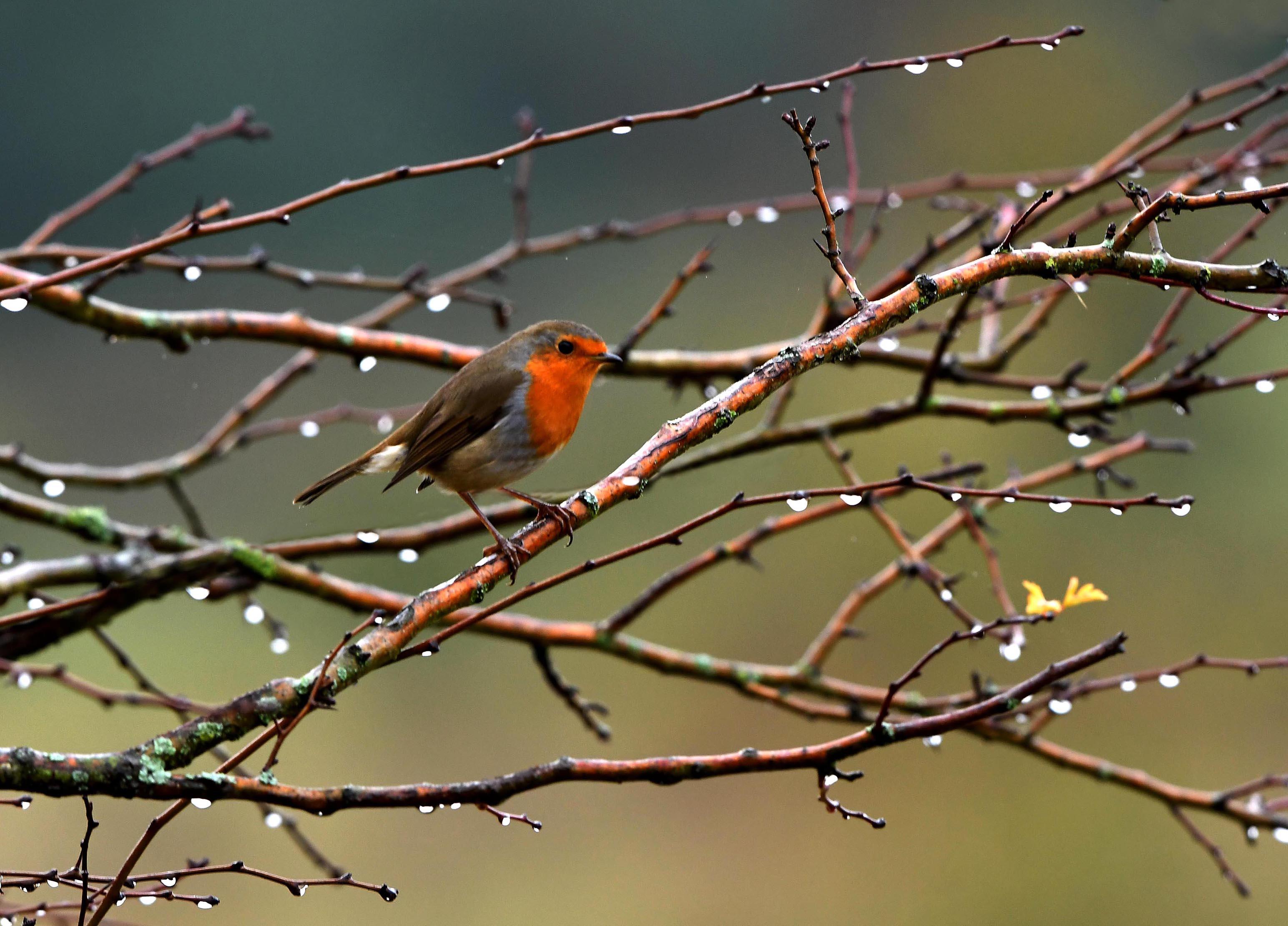 Het kleine vogeltje wordt omringd met pareltjes op de berketakken – Foto: ©Louis Fraanje