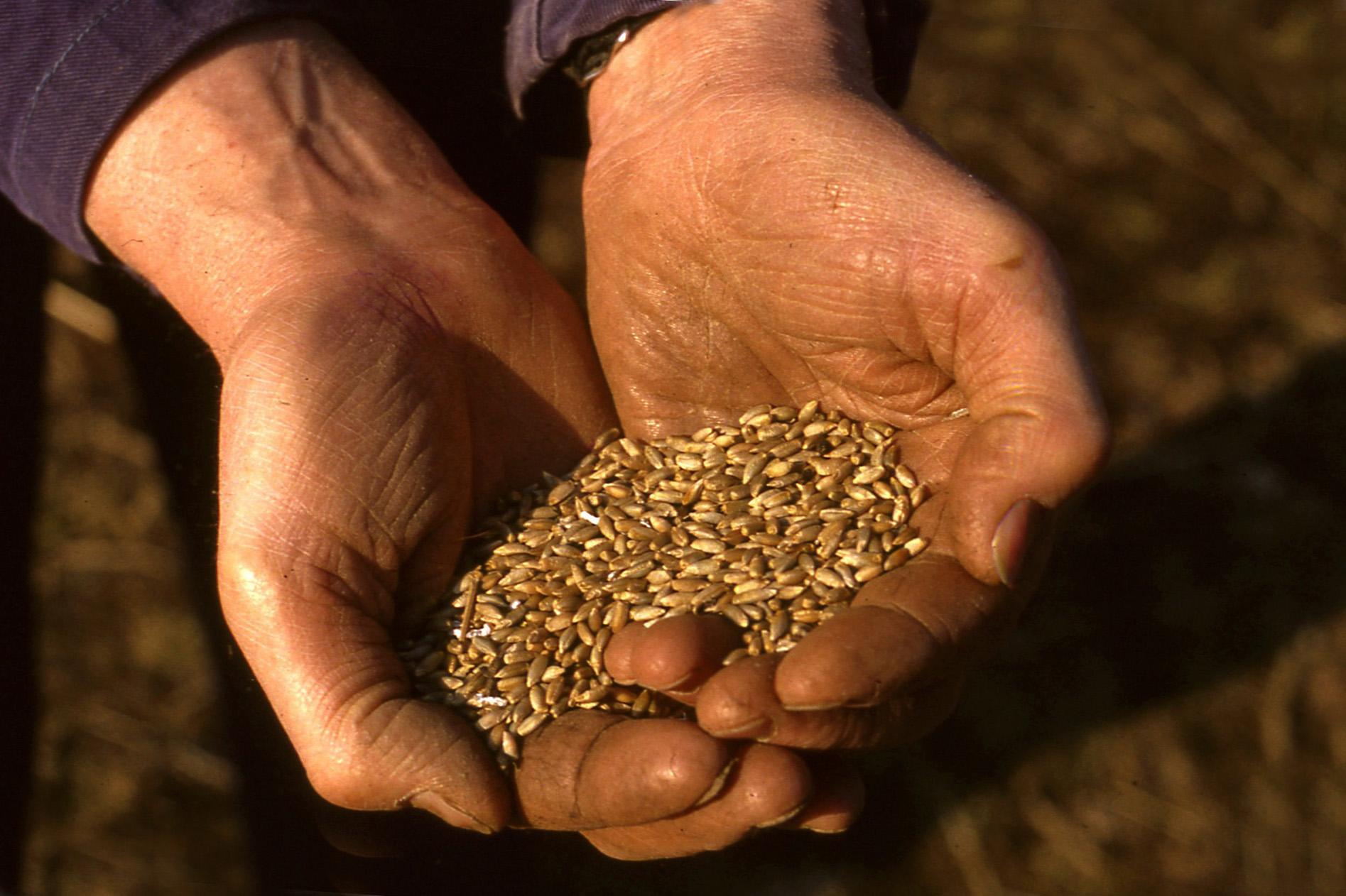 Na de oogst wordt het koren gedorst, hier twee werkhanden vol met het graan - Foto: ©Louis Fraanje