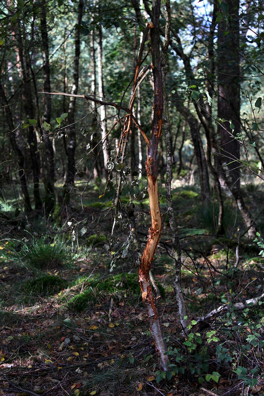Voor en tijdens de roodwildbronst sneuvelt er nogal eens een boom(pje) – Foto: ©Anja Arentzen