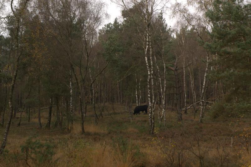Ook (half)tamme grazers zoals wisenten kortwieken het jonge loofhout behoorlijk drastisch – Foto: ©Yvonne Arentzen