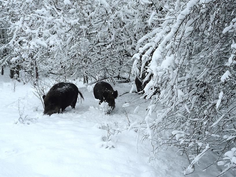 De wilde zwijne komen langzaam maar zeker steeds dichterbij– Foto: ©Louis Fraanje