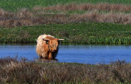 Bij warm weer zoeken Schotse Hooglanders graag verkoeling in water - Foto: ©Louis Fraanje