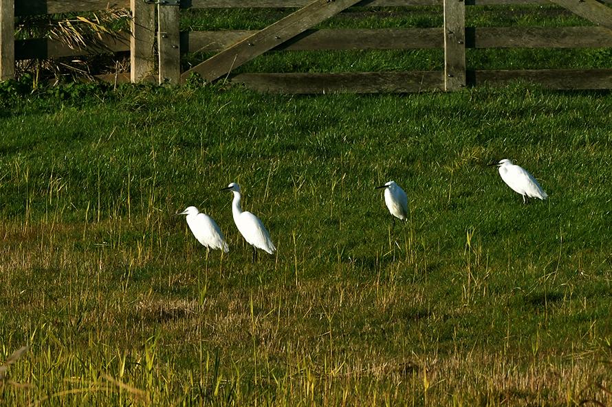 Staan er zomaar vier Kleine Zilverreigers bij elkaar in het weiland – Foto: ©Louis Fraanje